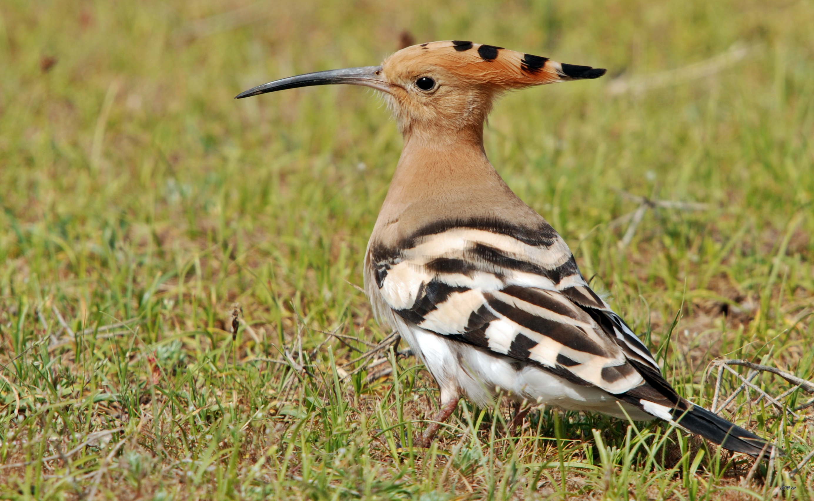 Eurasian Hoopoe photos and wallpapers. Collection of the