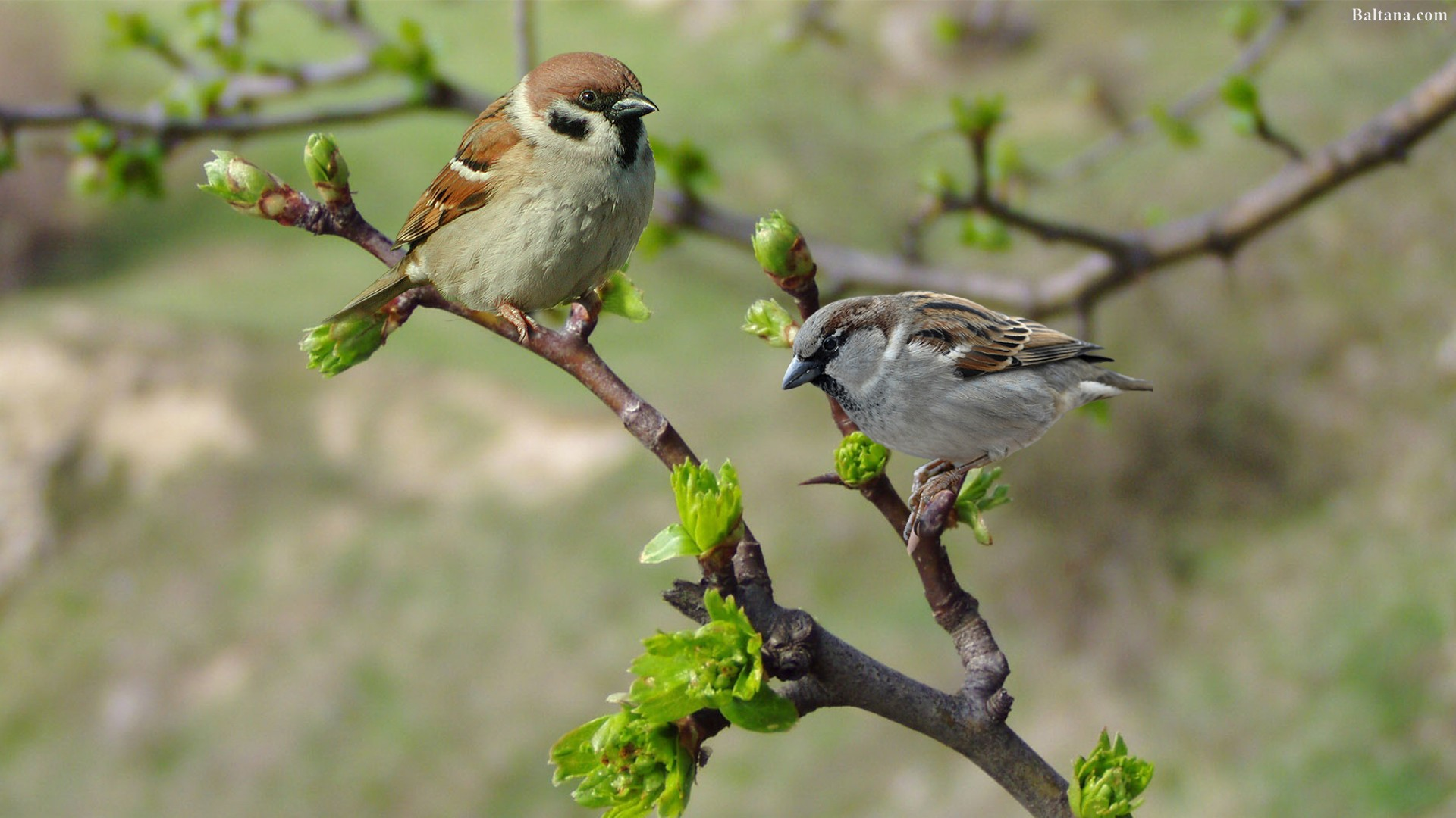 Sparrow HD Wallpapers 31917
