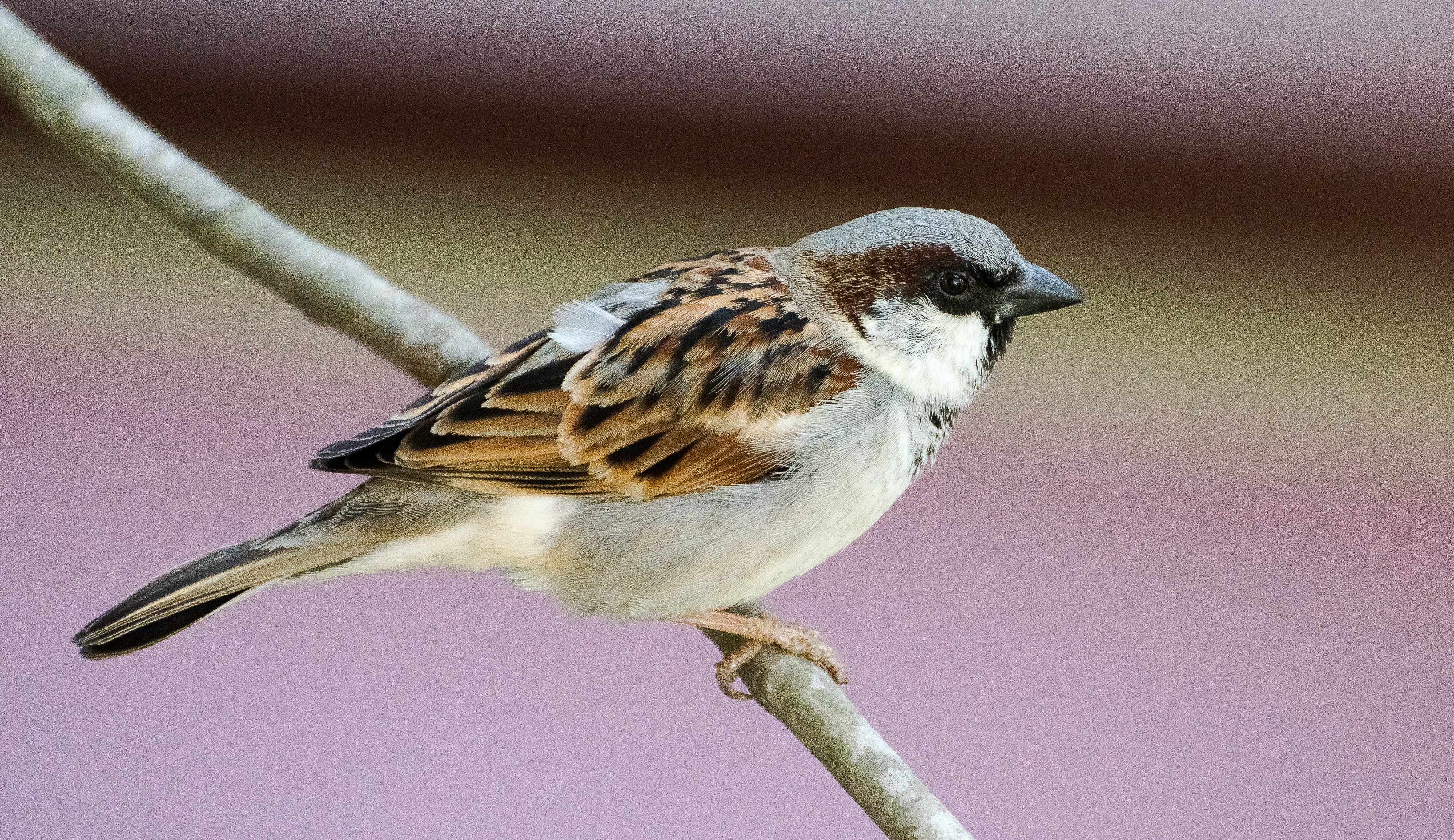 Free stock photo of house sparrow, nature