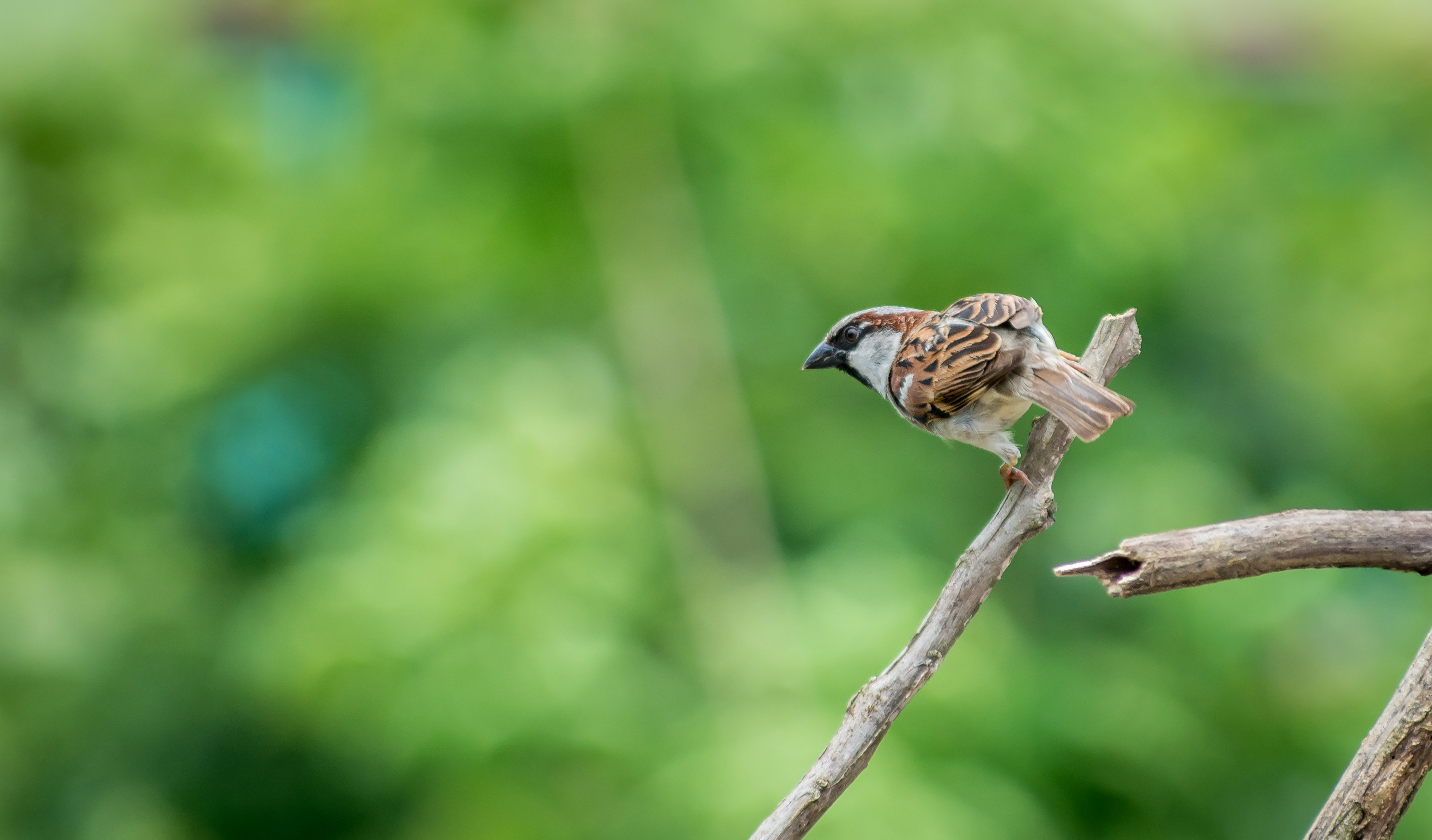 Selective Focus Photography of House Sparrow Perching on