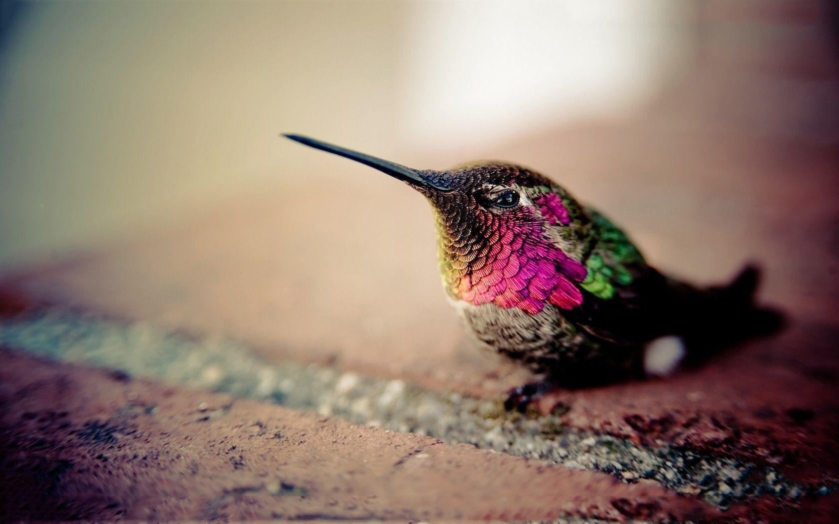 Hummingbird Wallpapers For Free Wallpapers