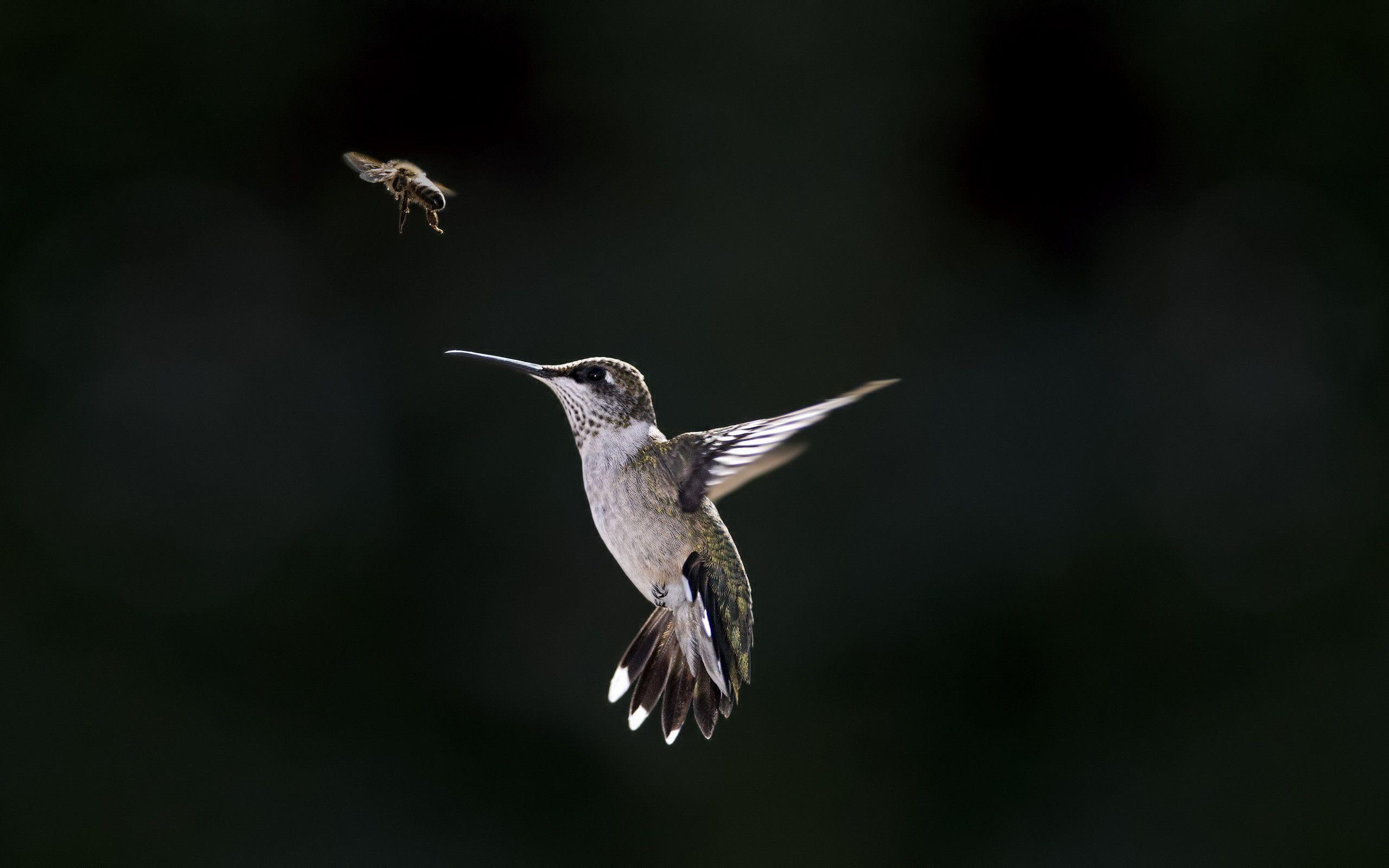 Latest Humming Bird HD Wallpapers Free Download