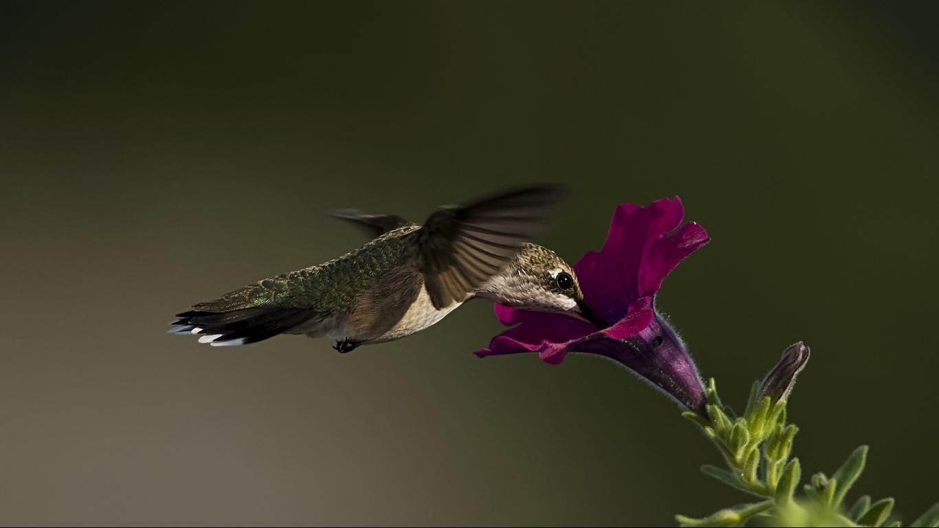 Wallpapers For > Hummingbird Wallpapers 1366x768