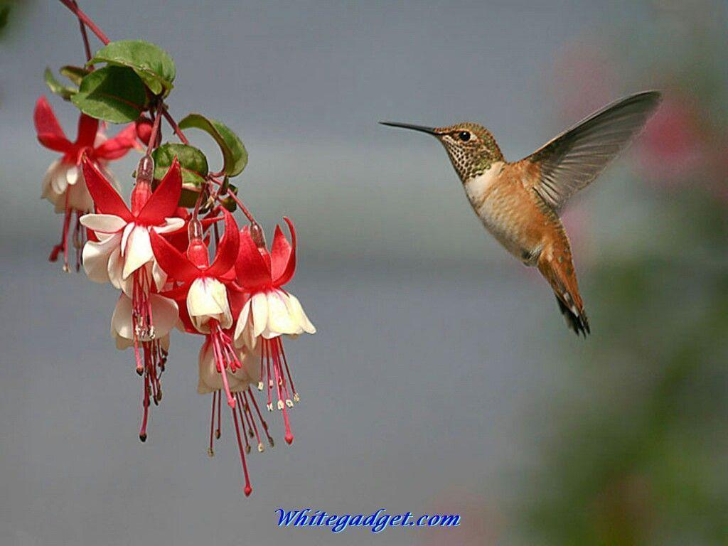 Wallpapers For > Hummingbird Wallpapers