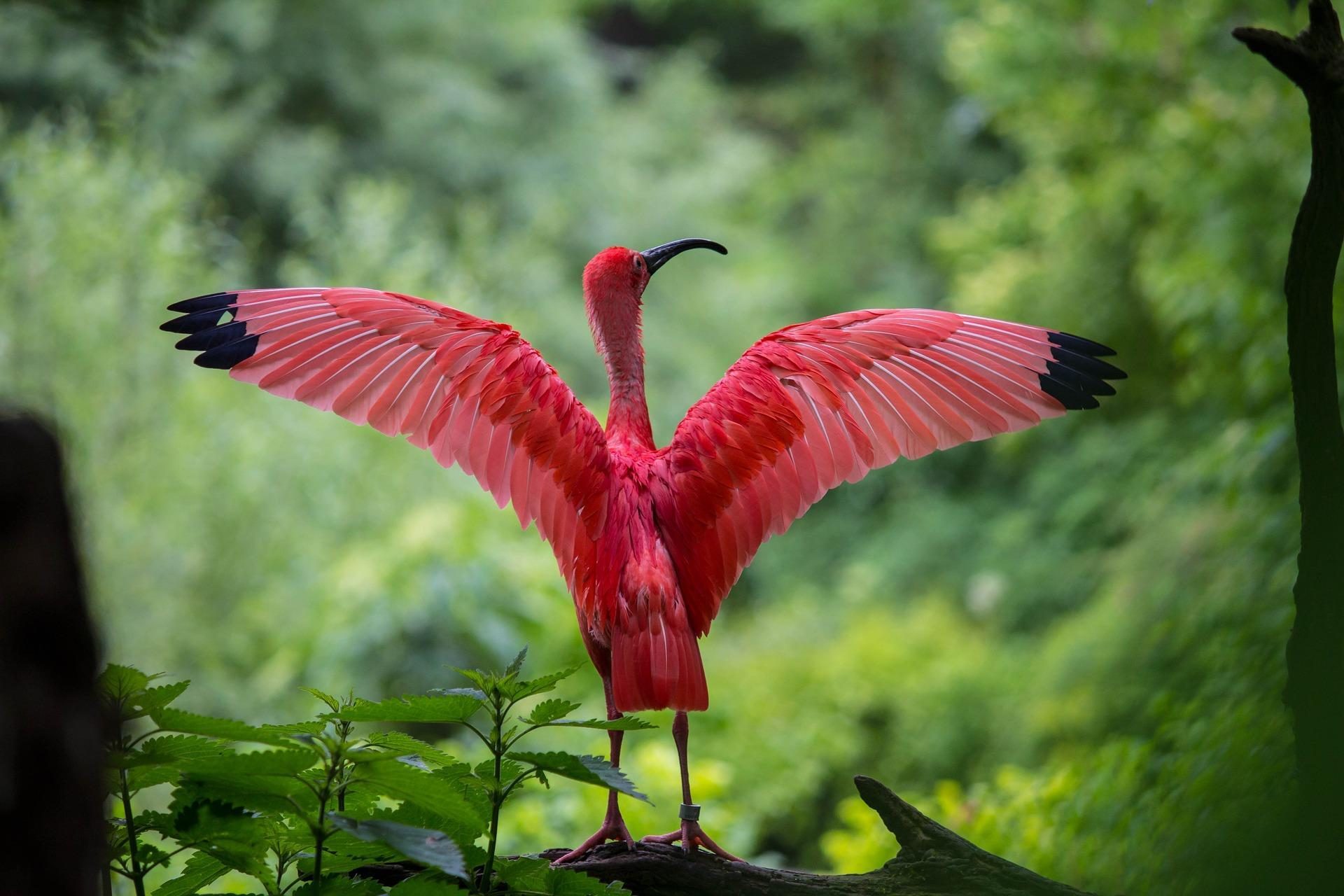 Ibis Wallpapers HD for Android