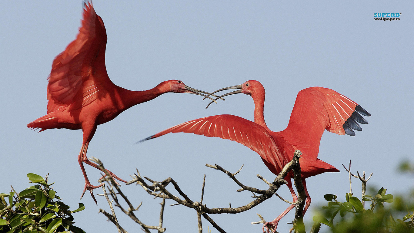 Scarlet Ibis Wallpapers and Backgrounds Image