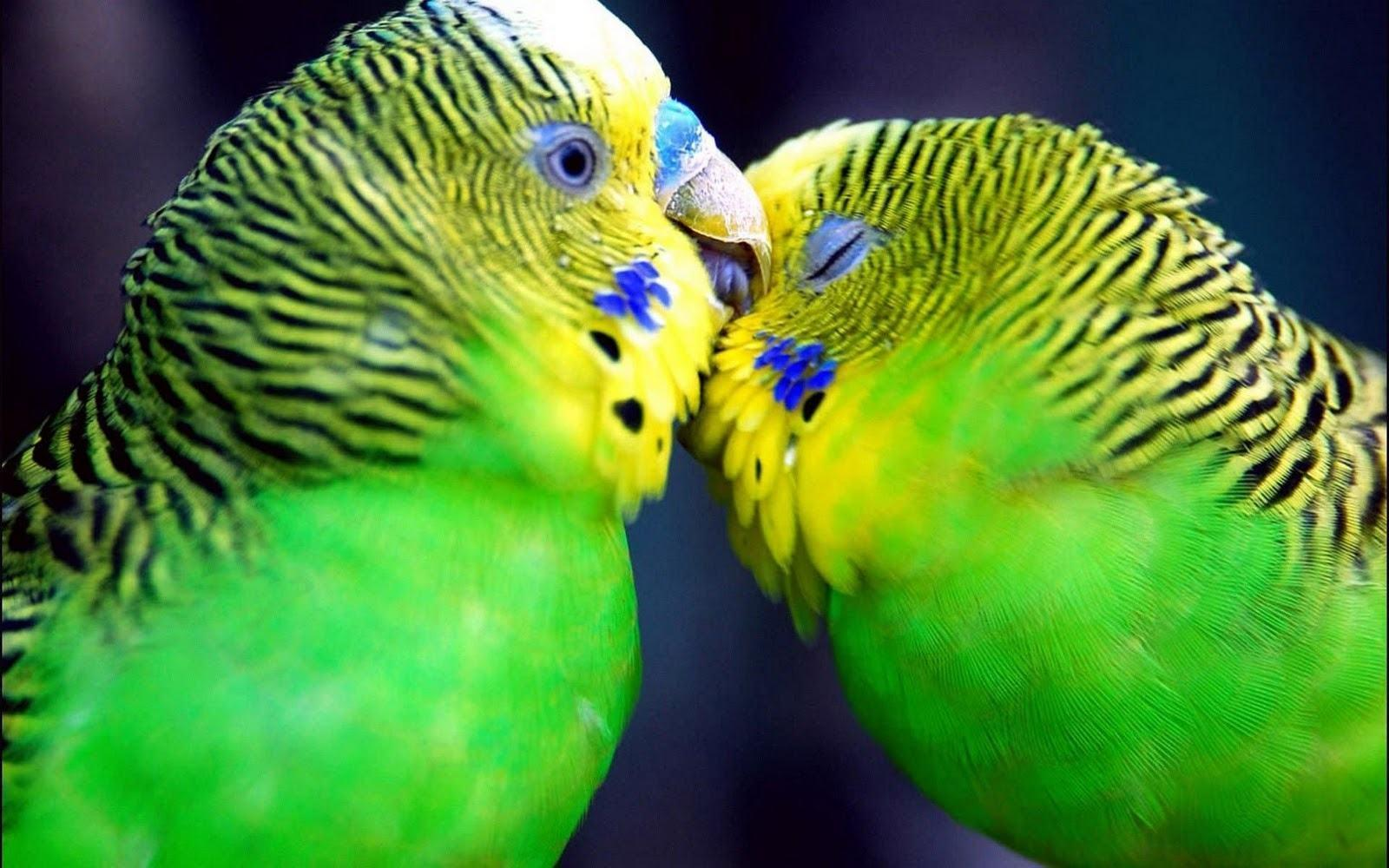 Love Birds Wallpapers Beautiful Pictures HD Wallpapers & Backgrou