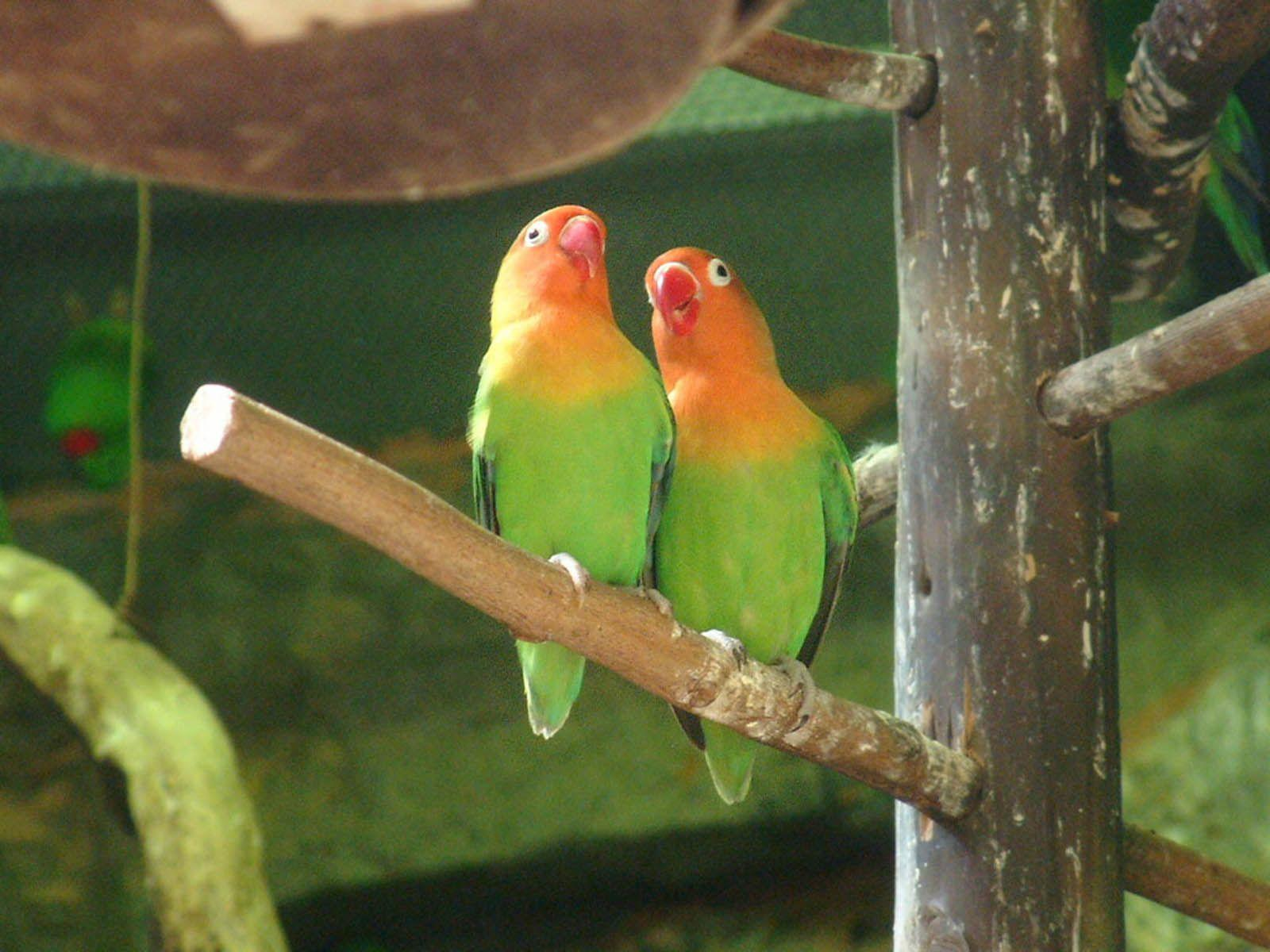 Wallpapers For > Love Bird Wallpapers