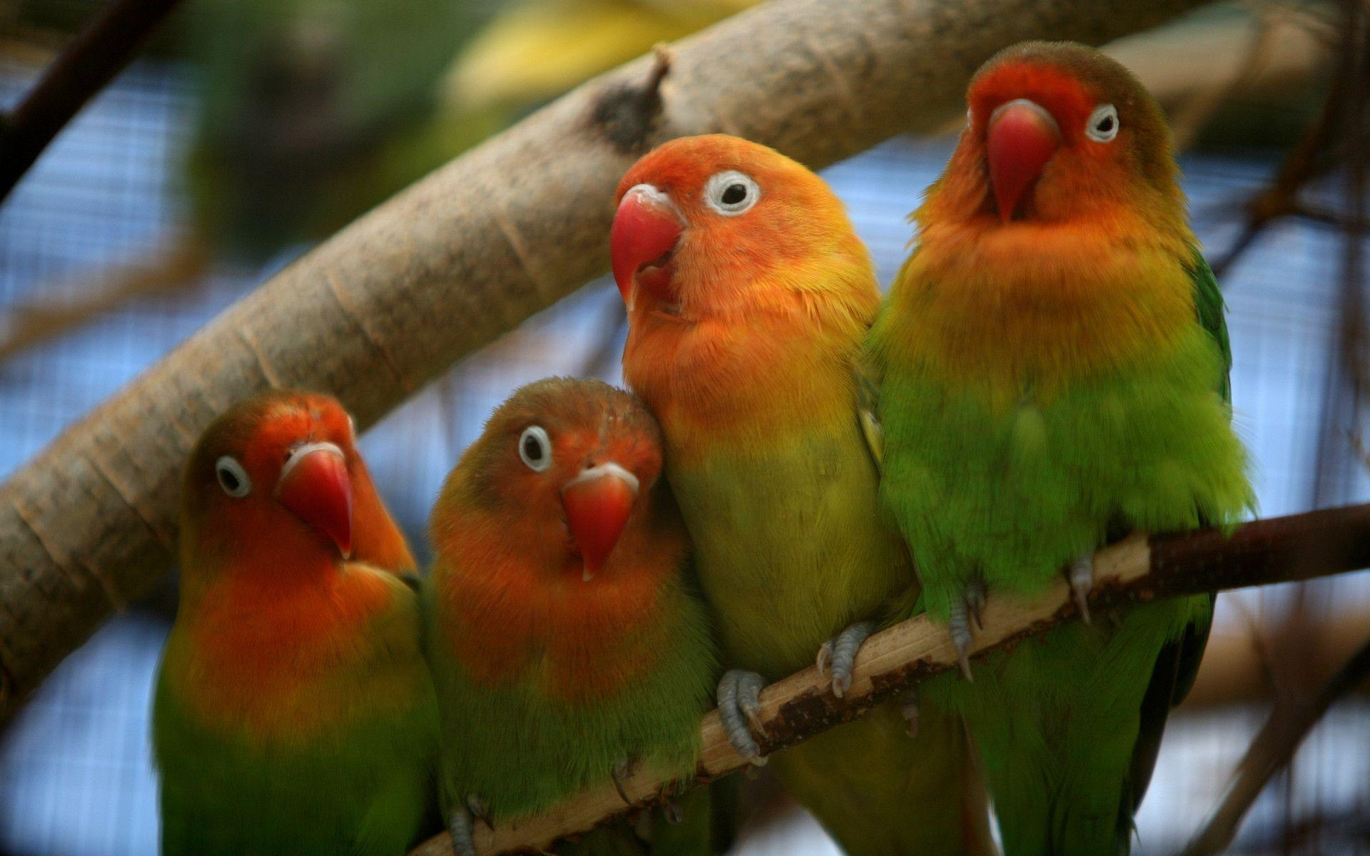 Wallpapers For > Cute Love Birds Wallpapers