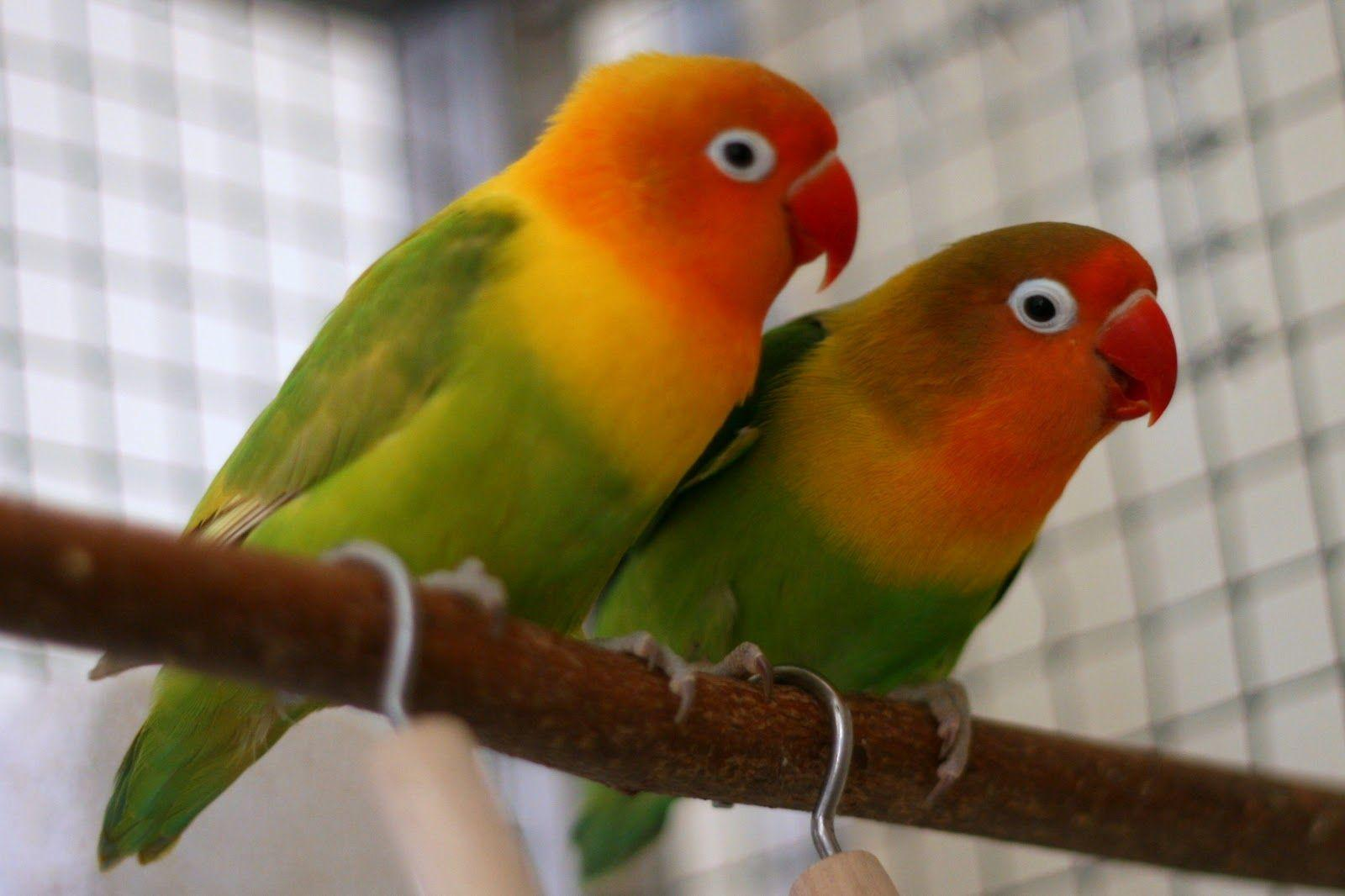 Image For > Love Birds Image Hd