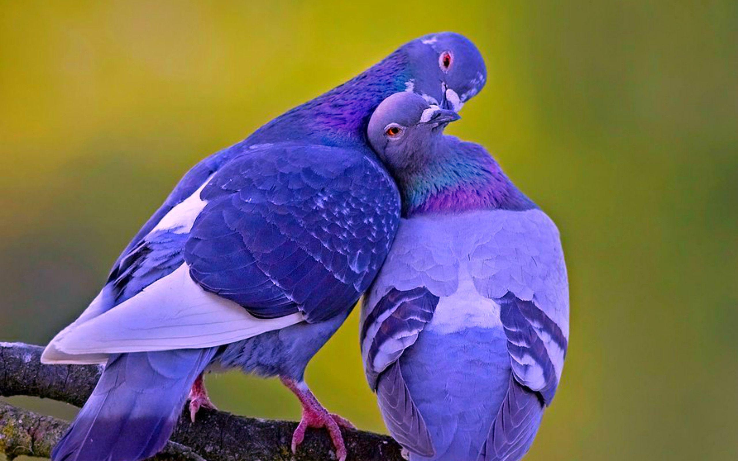 Image For > Love Birds Image Wallpapers