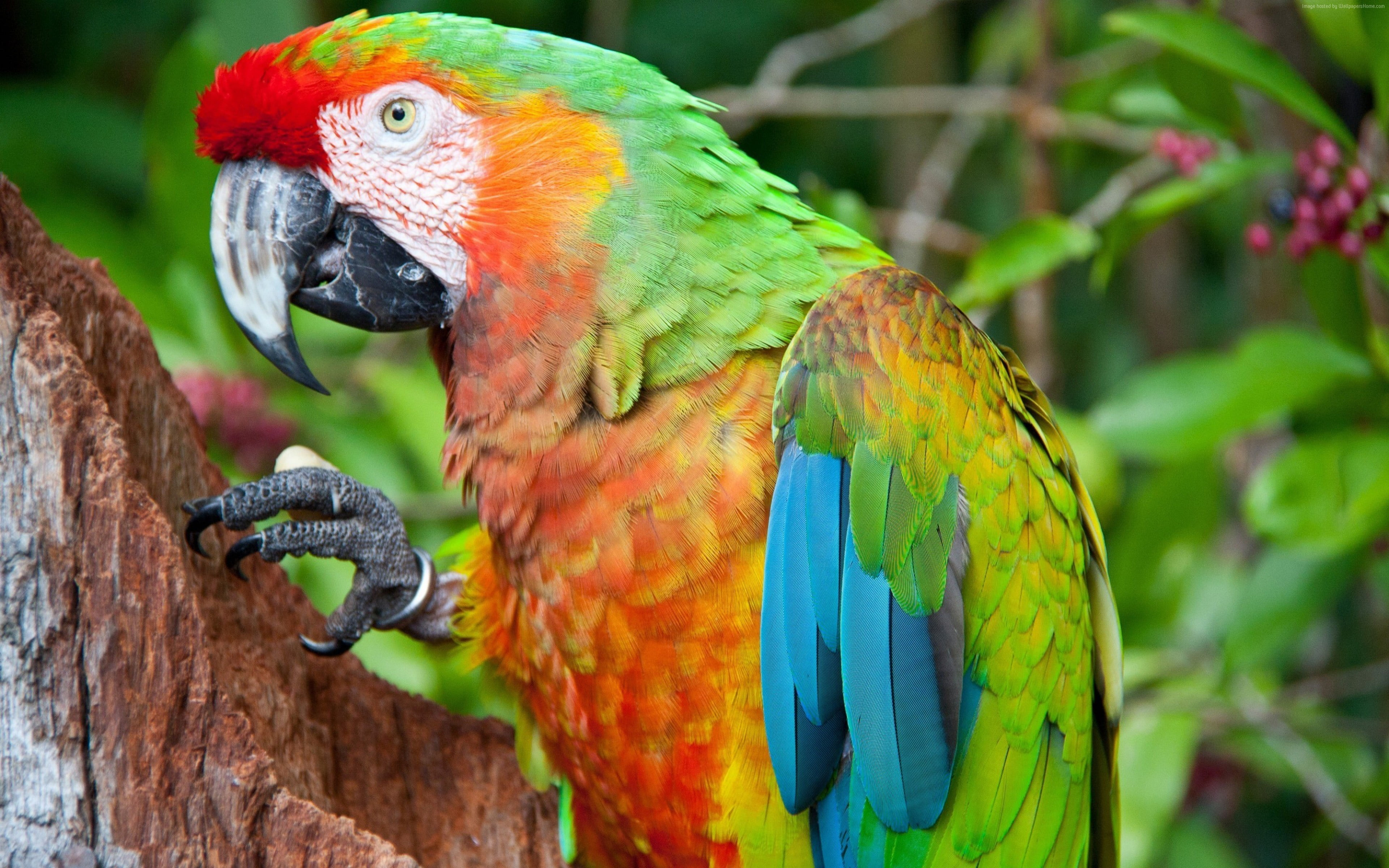 Green Red Macaw Wallpapers 4