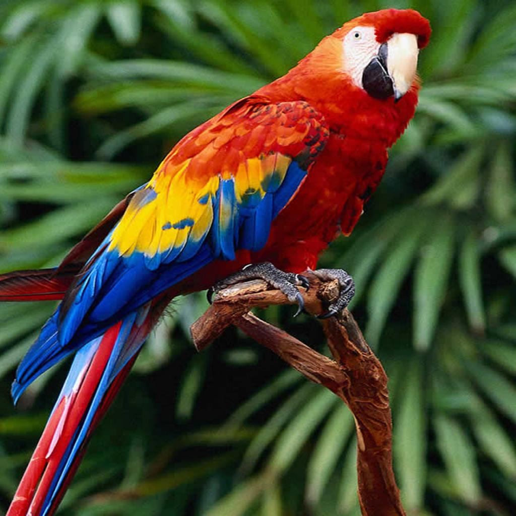 Red Macaw Wallpapers 2