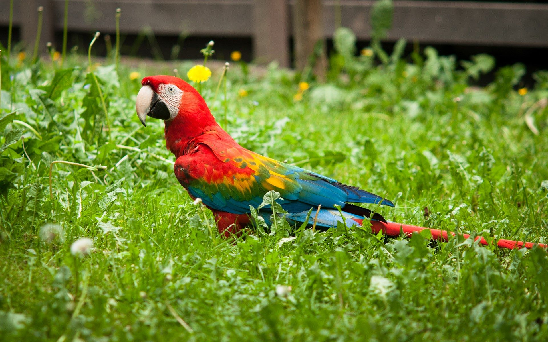 Red Green Macaw Wallpapers Wide » Download Wallpapers Laptop HD