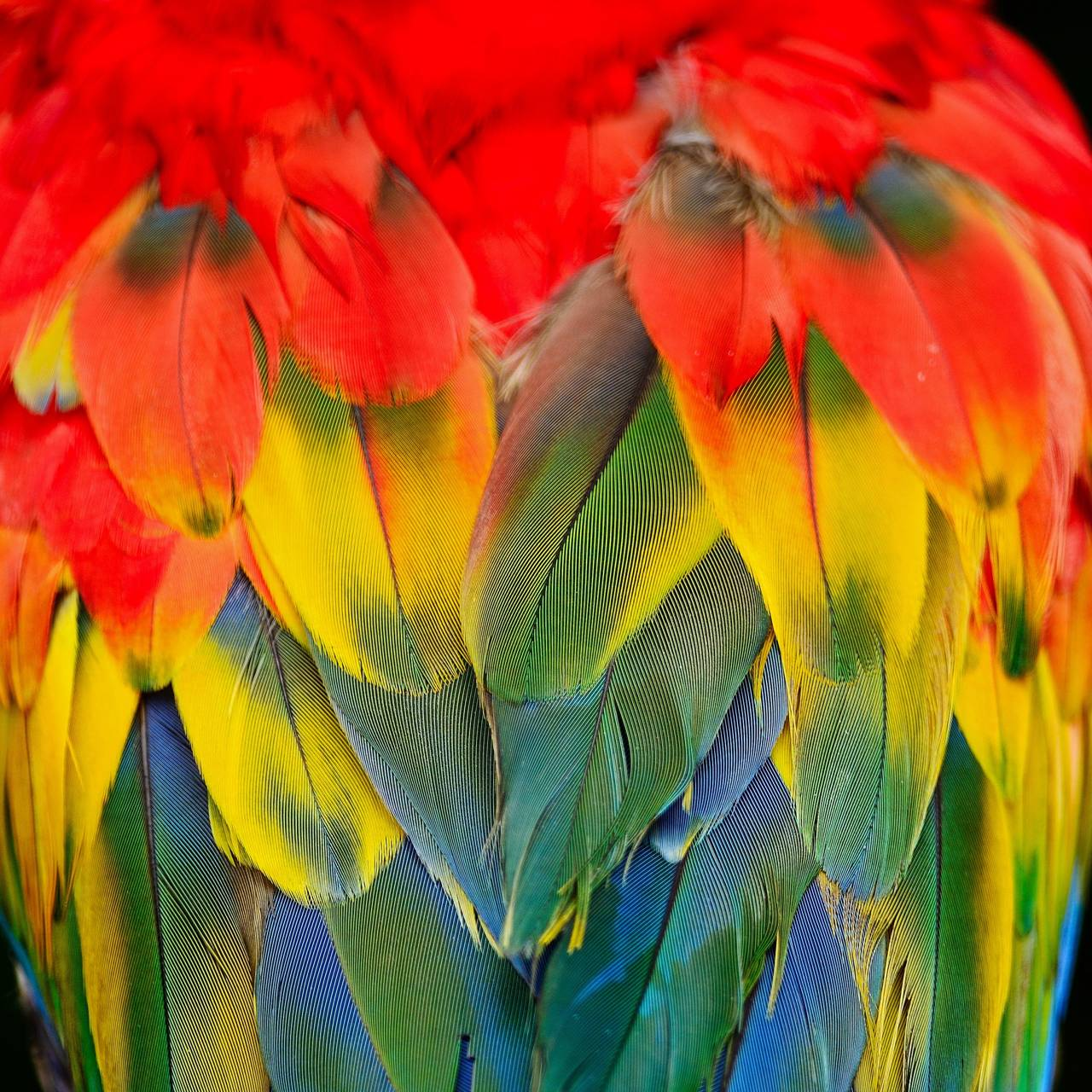 Scarlet Macaw Wallpapers by ____S