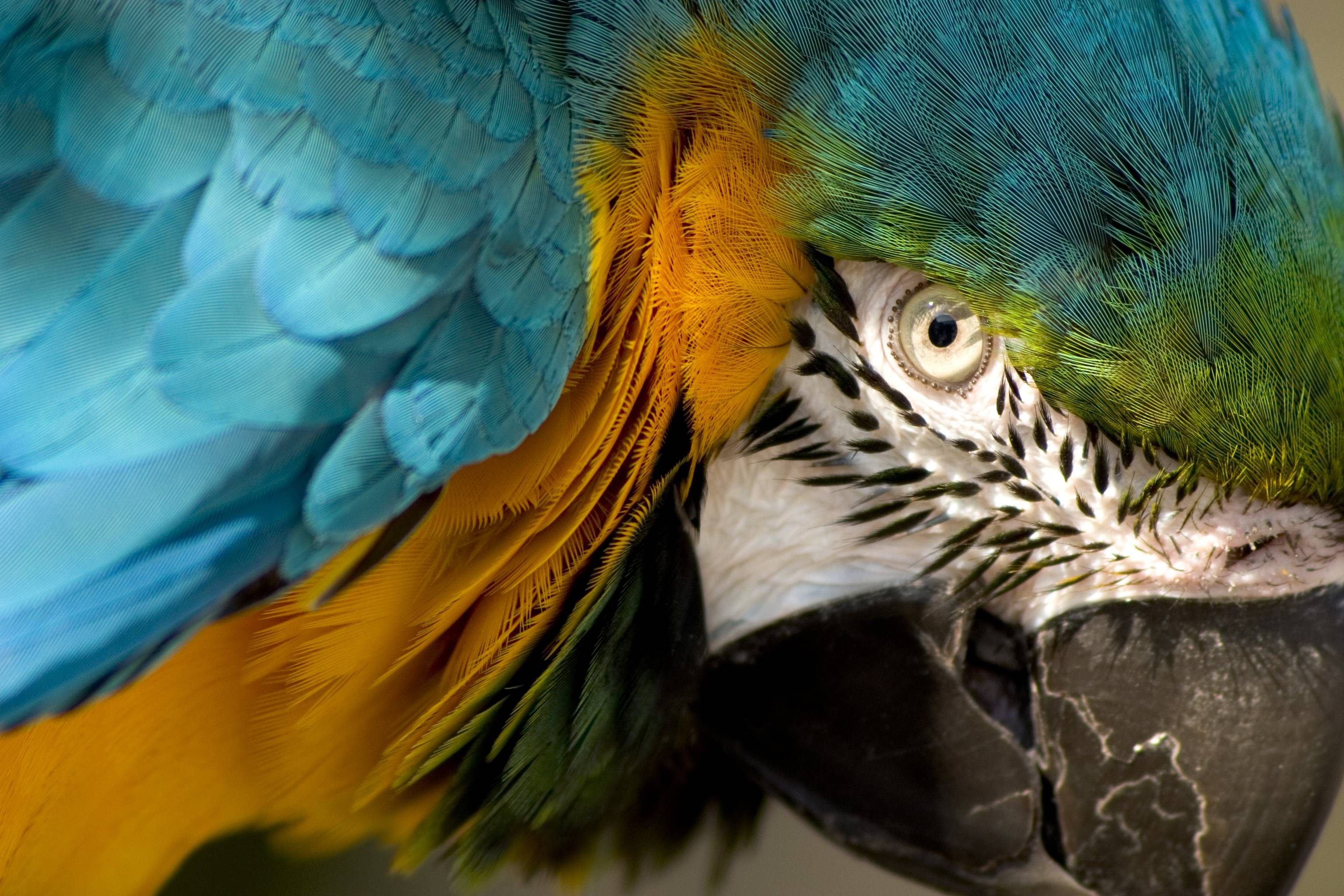 Eye of the Macaw : wallpapers