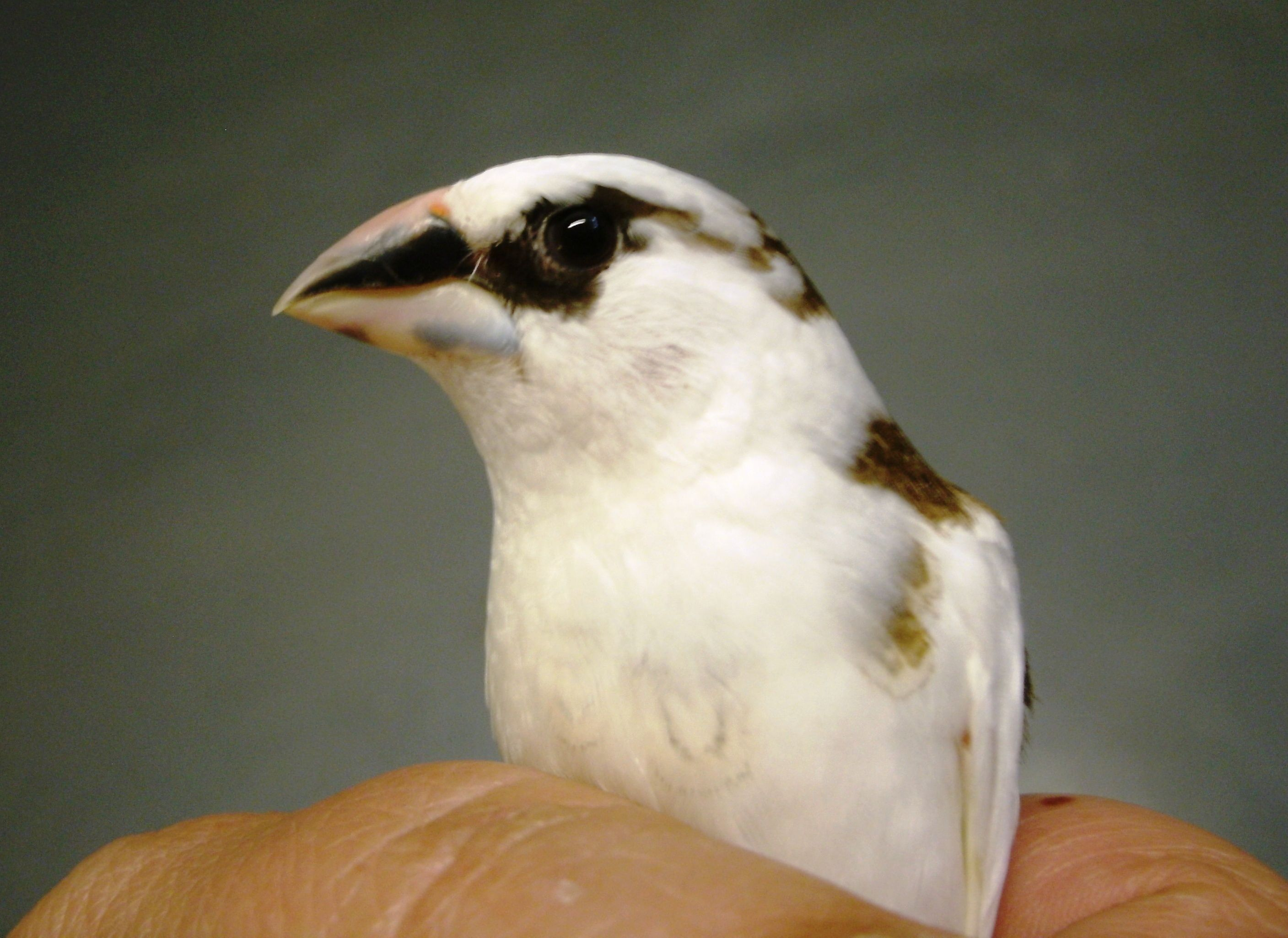 Chocolate & white pied American Society finch