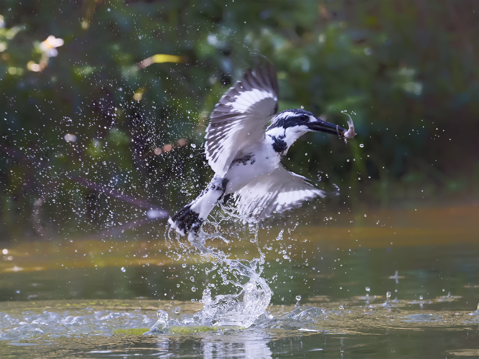Real Fish Catcher Pied Kingfisher