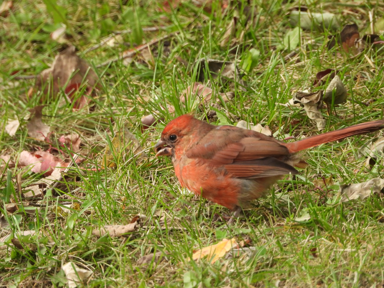 JUVENILE NORTHERN CARDINAL MOLTING TO ADULT, COLONEL