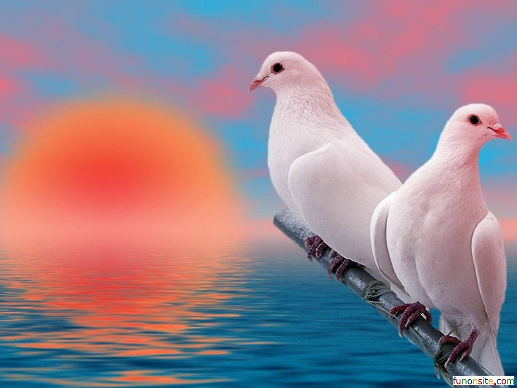 Pigeon Wallpapers Image Group