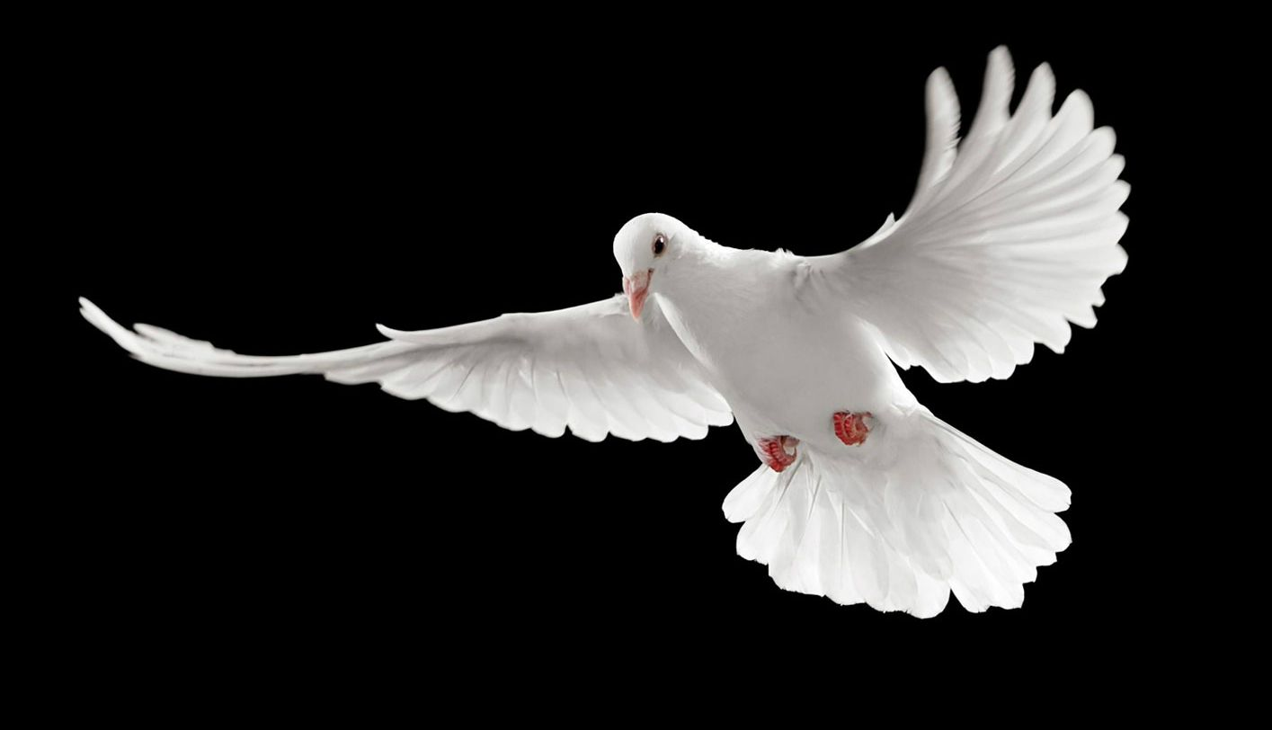 Flying White Pigeons Black Backgrounds HD Wallpapers Image