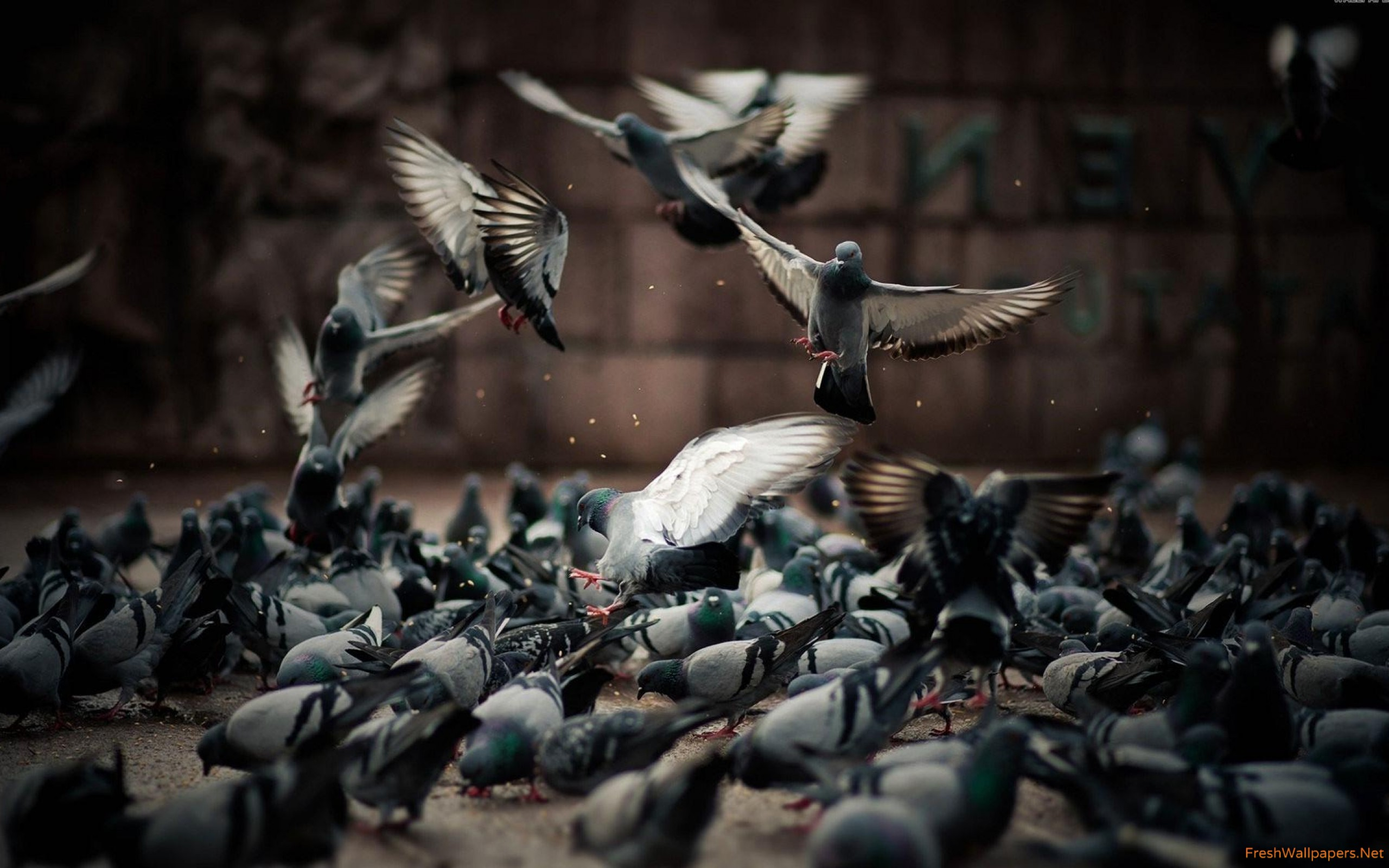 Pigeons wallpapers