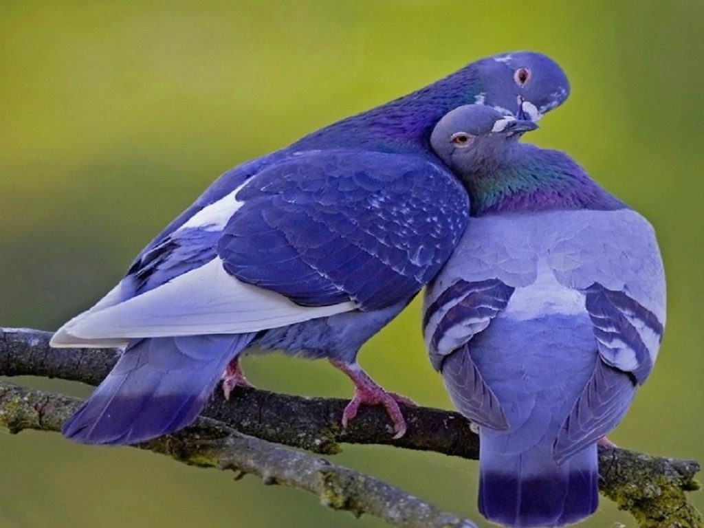Pigeon Colorful HD Image Wallpapers Photos