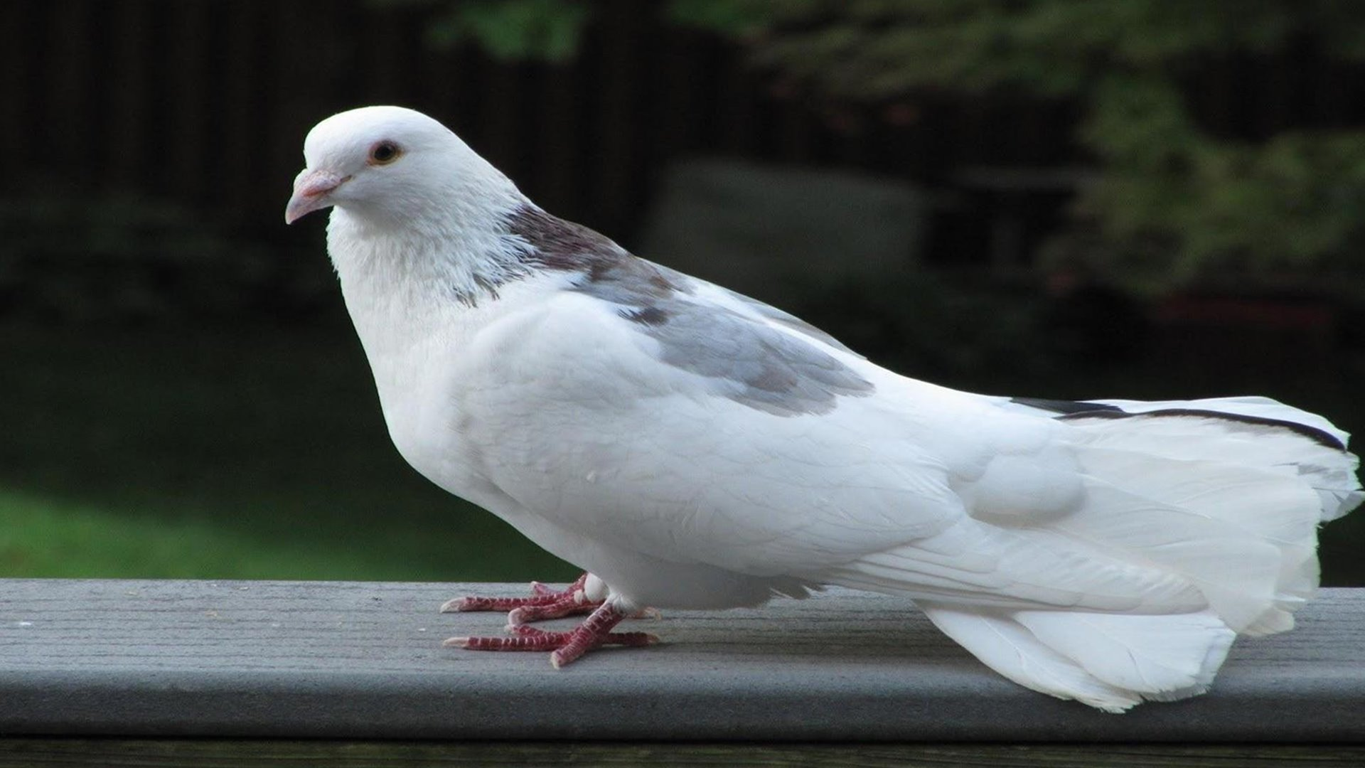 Pigeon Wallpapers Group