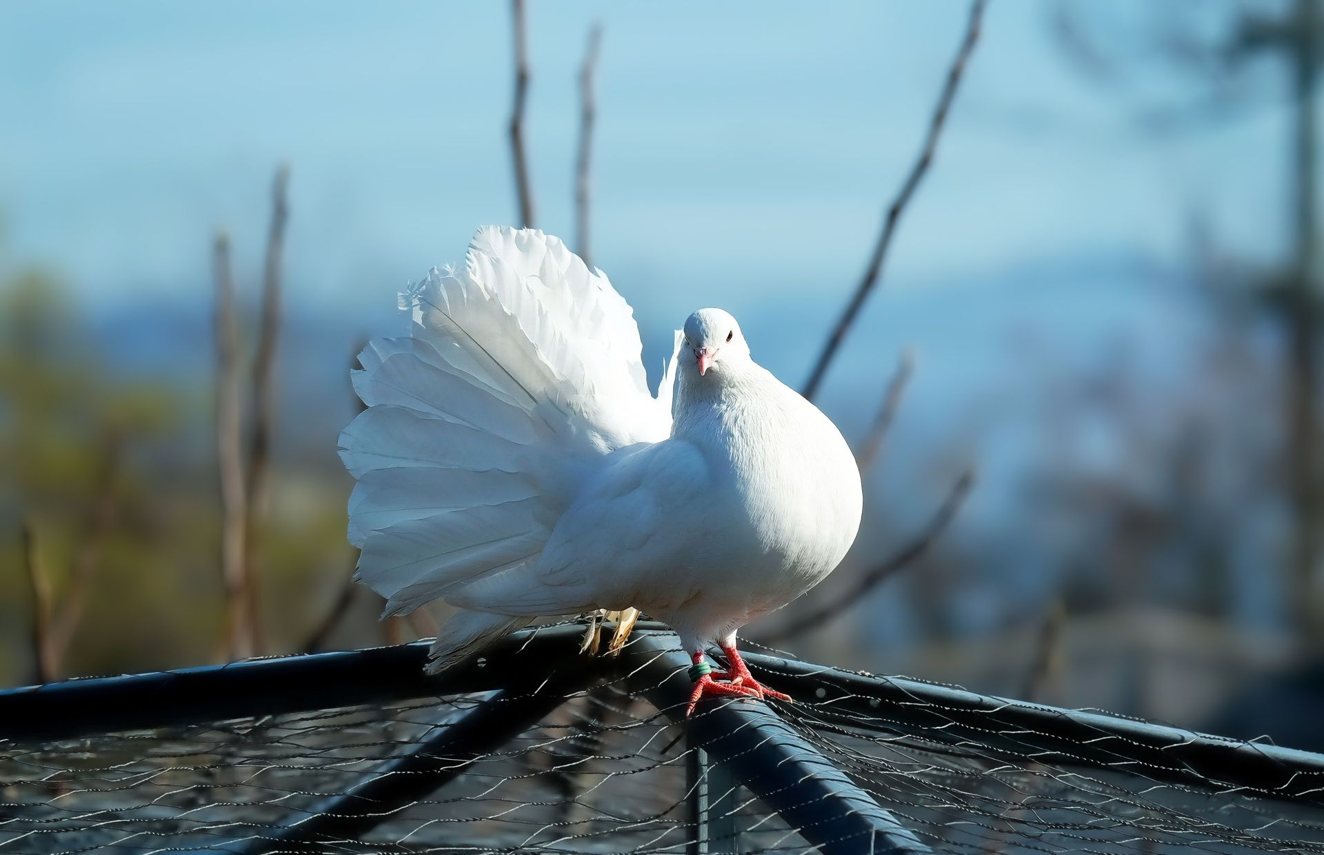 Beautiful White Pigeon Wallpapers to Download for Free