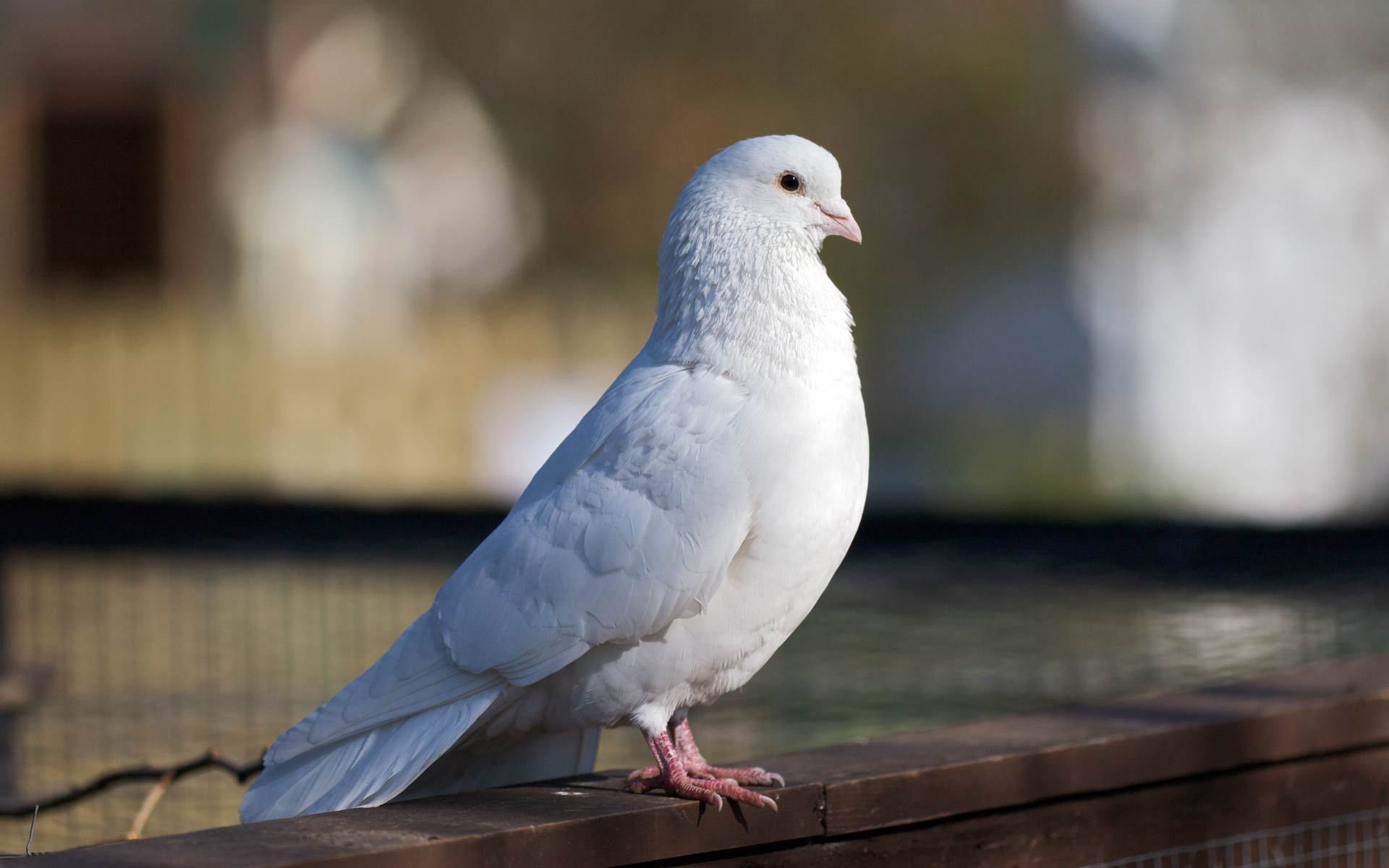 Pigeon Birds Free Download High Quality Hd Wallpapers Of Pigeon