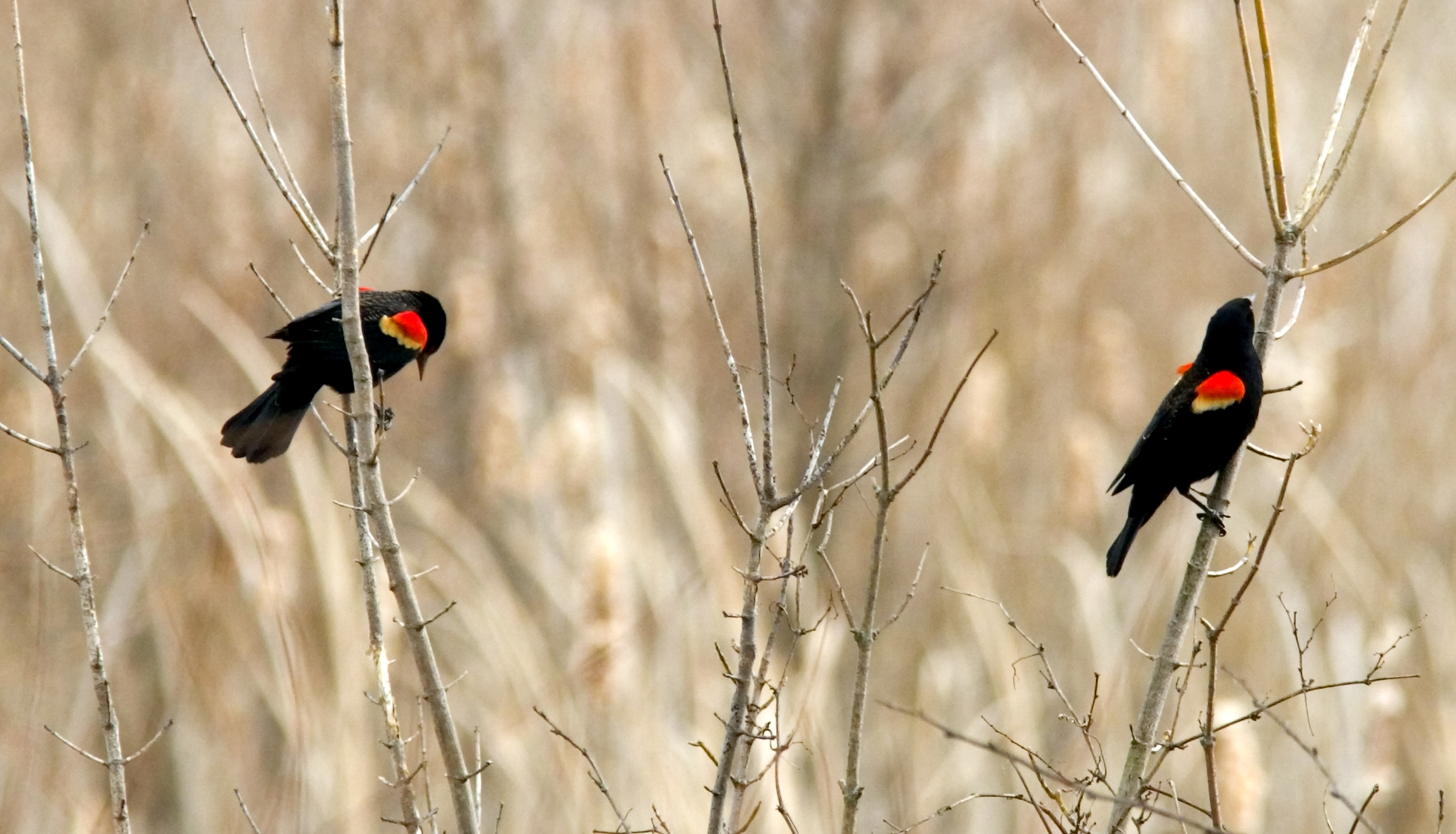 Ohio Bird Photo Collection: Red Winged Male Blackbirds