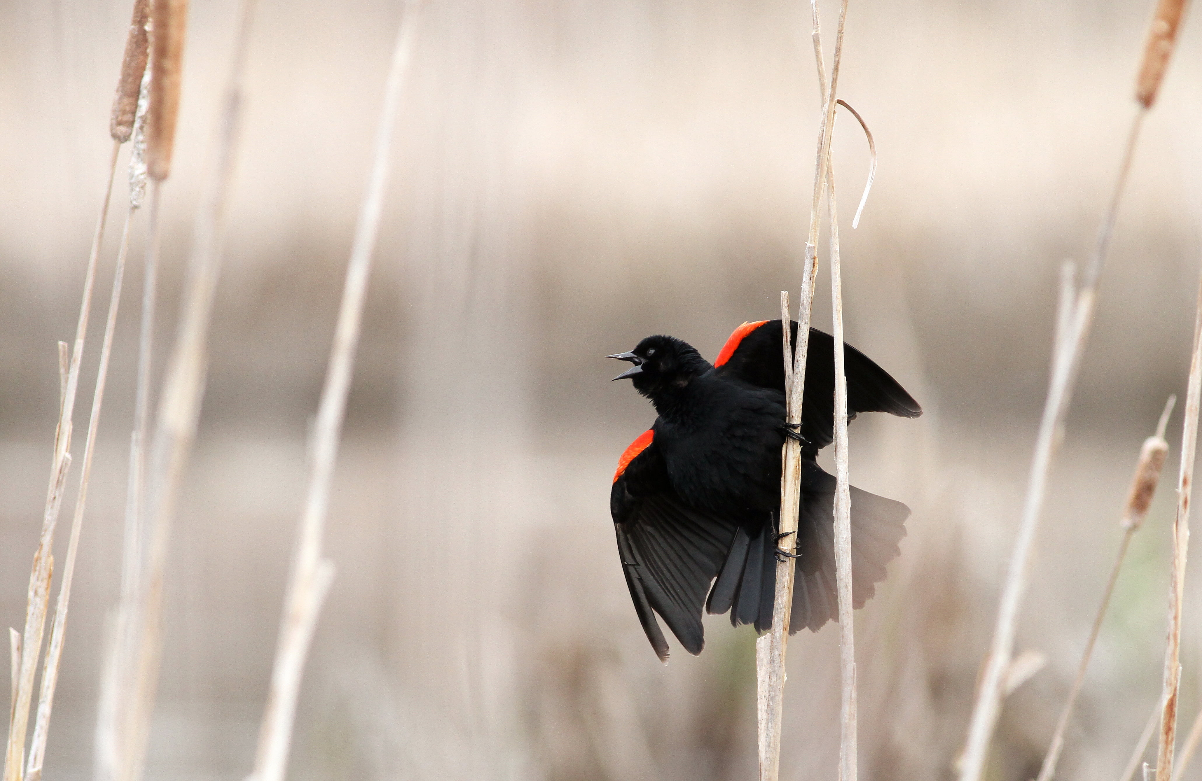 Red and black bird, red