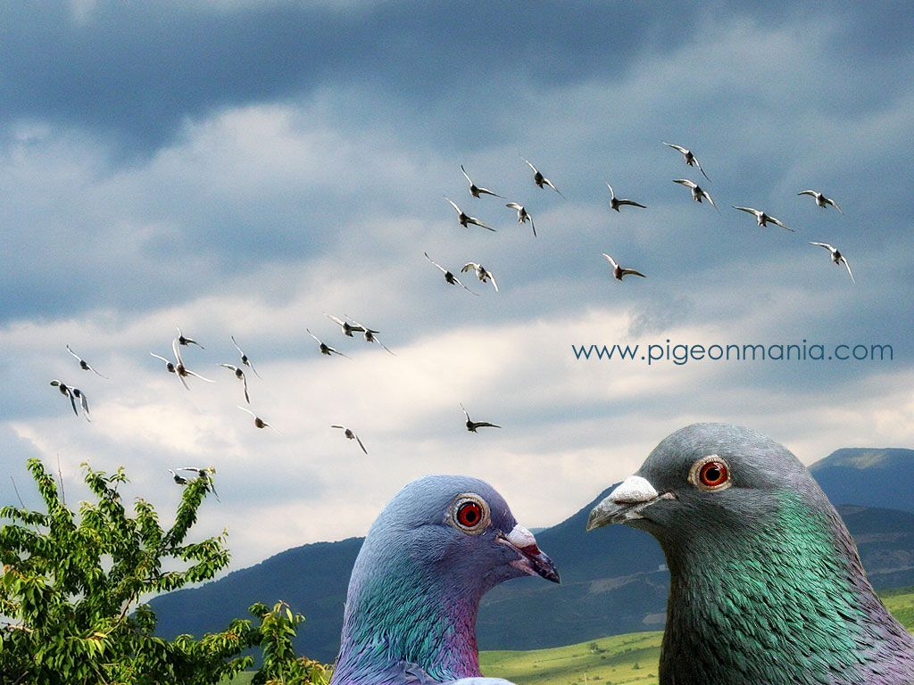 pigeon wallpapers Image Wallpapers