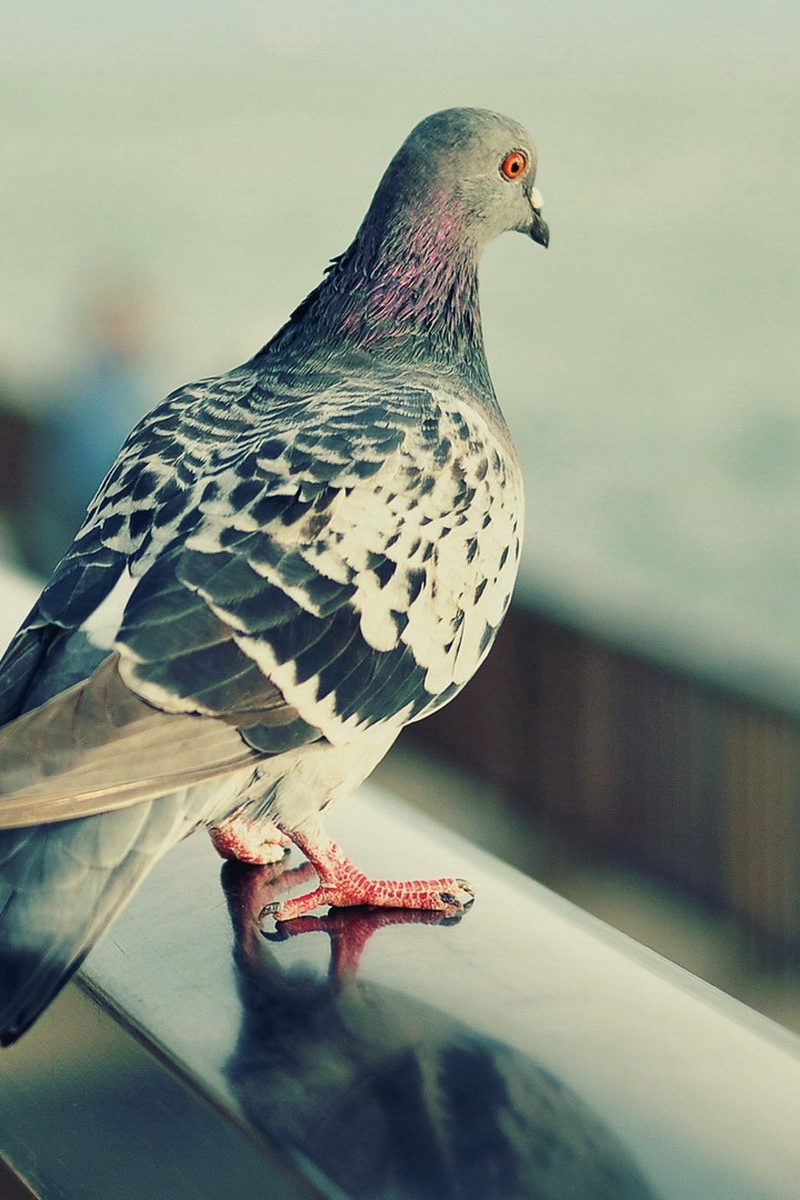 Download wallpapers 800x1200 pigeon, bird, feathers, sit