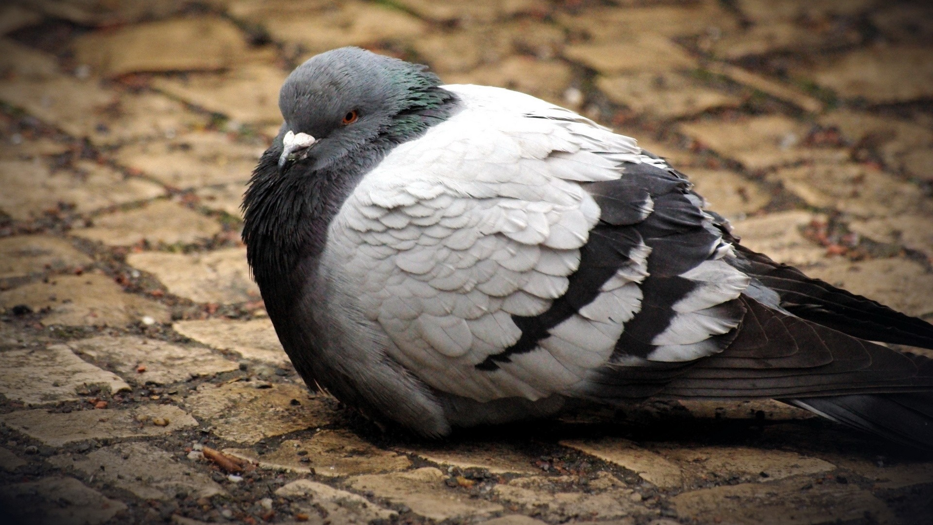 1920x1080 pigeon wallpapers for computer