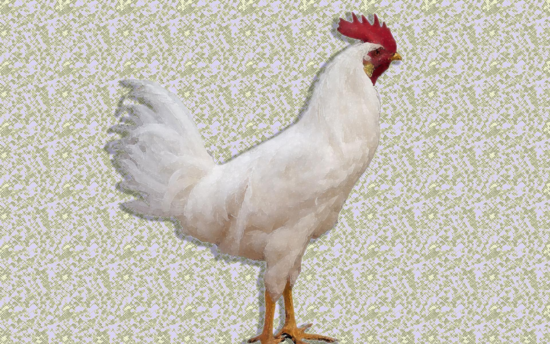 HD White Leghorn Rooster Wallpapers
