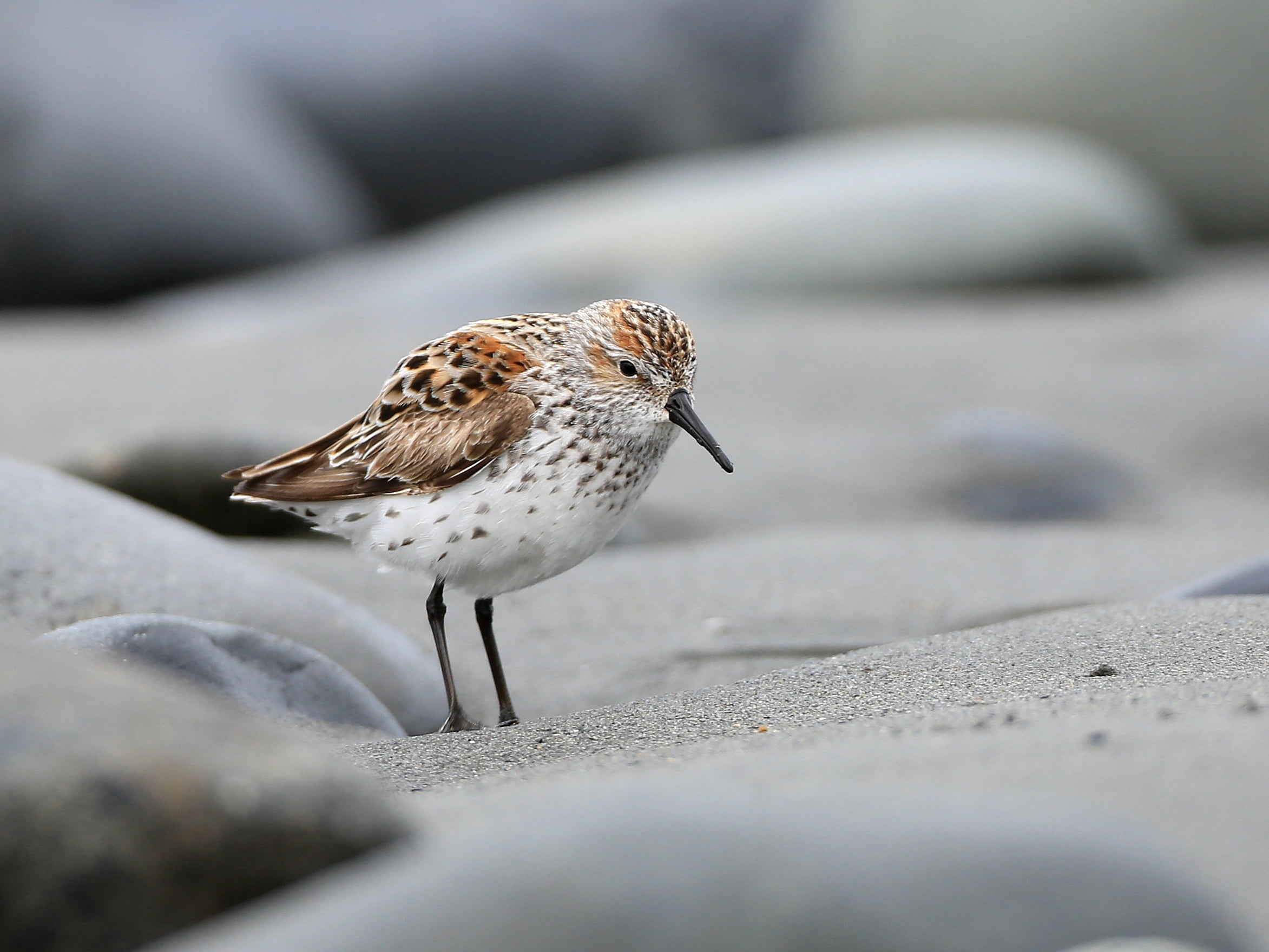 Close up photo of white and brown sea bird, western