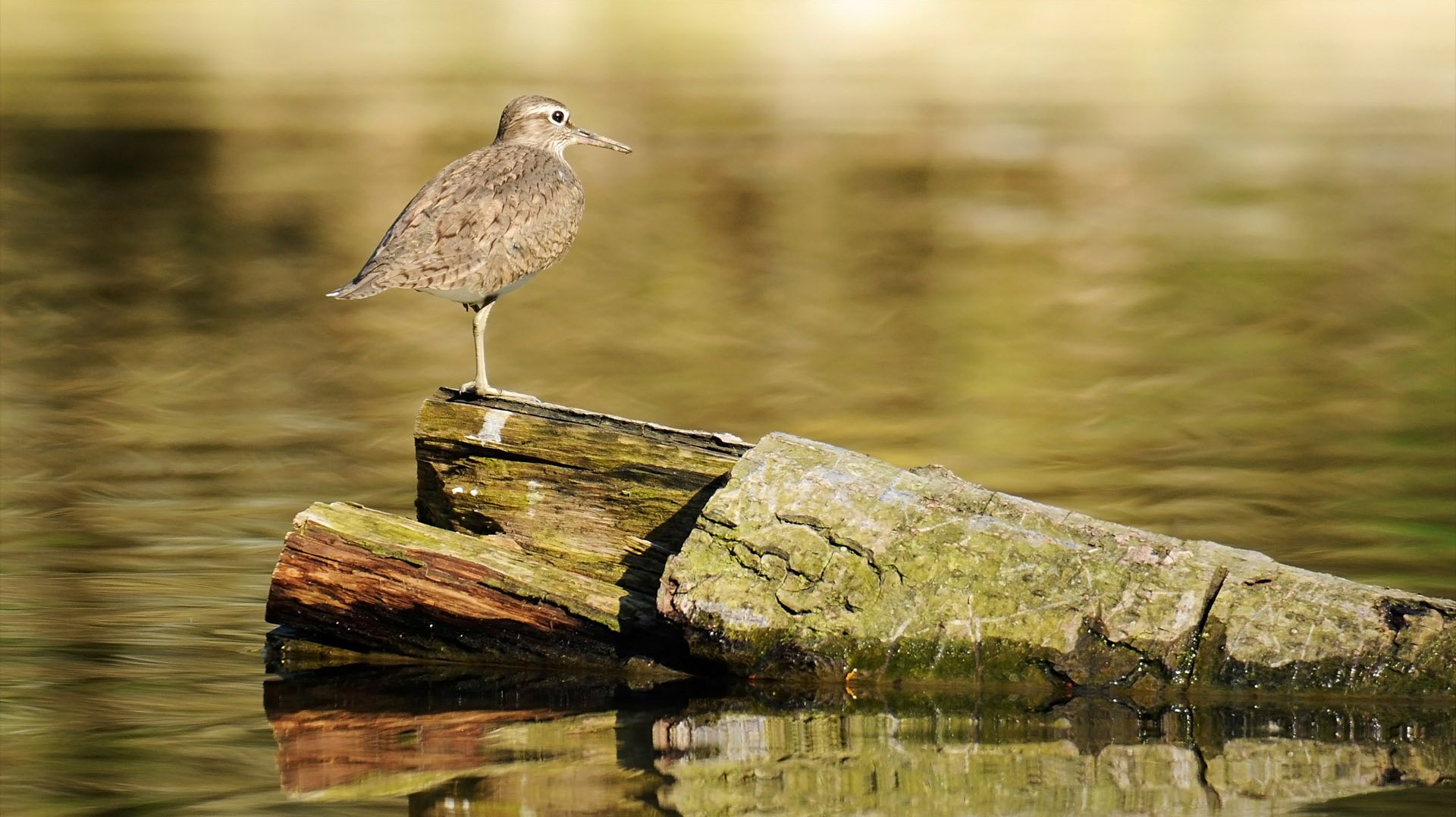 Sandpiper Wallpapers and Backgrounds Image