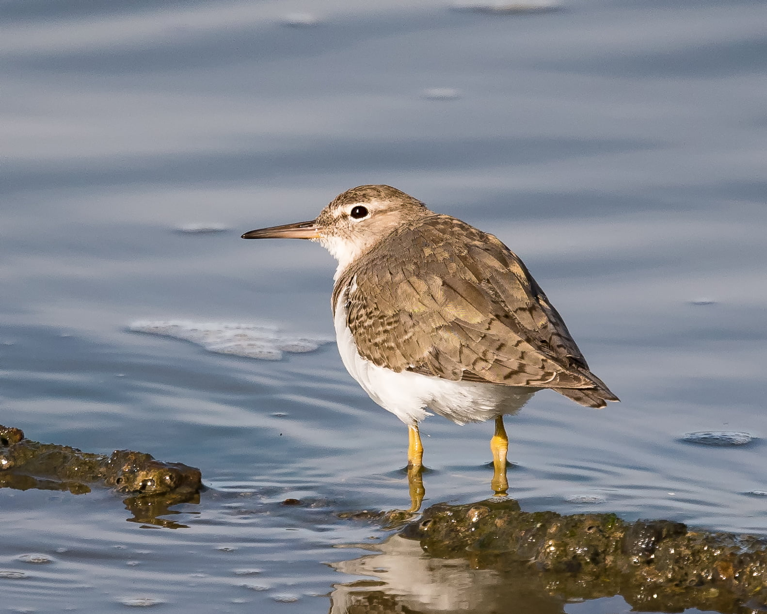 White and brown bird on water, spotted sandpiper HD