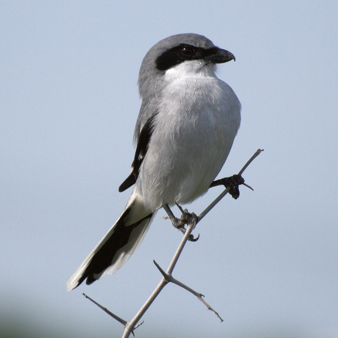 Loggerhead Shrike photos and wallpapers. Collection of the