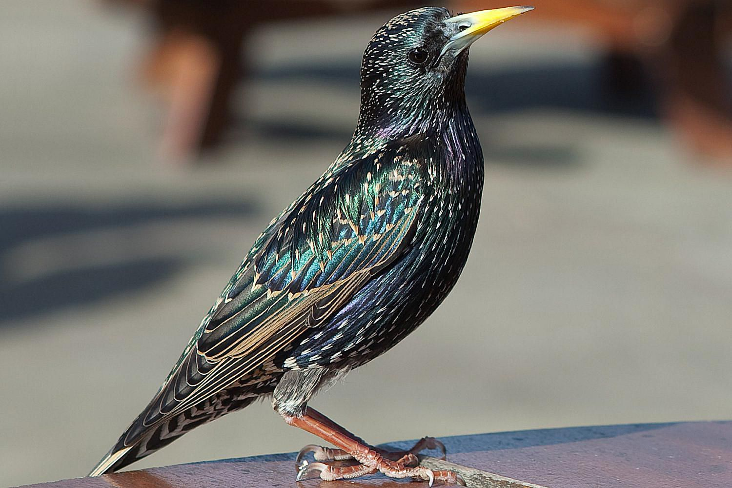Starling Wallpapers High Quality