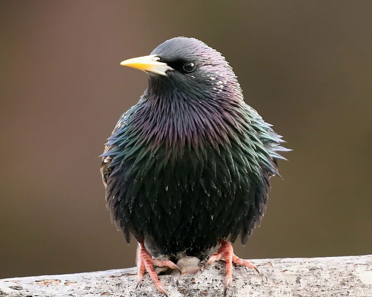 Starling Wallpapers