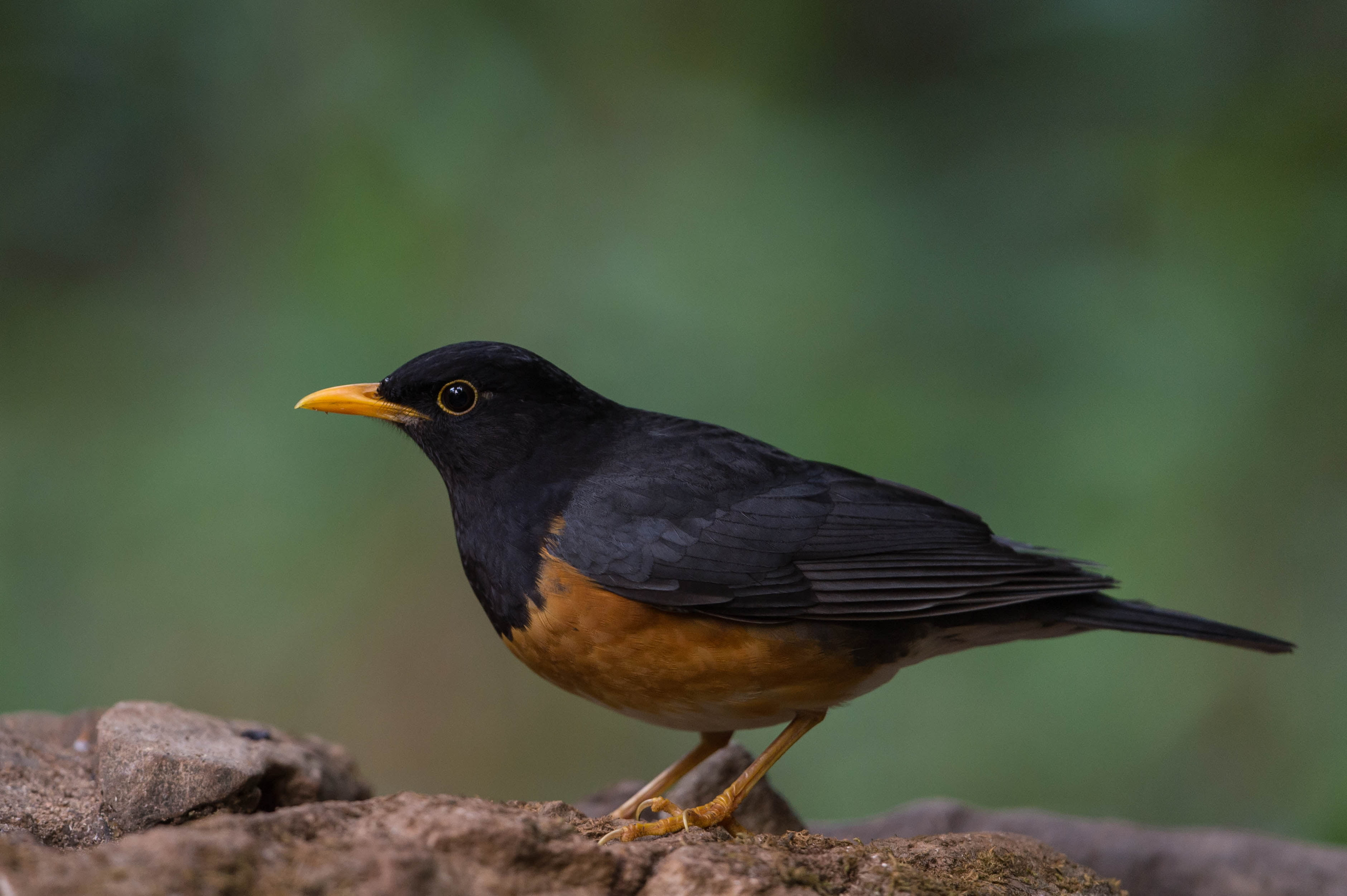Brown and black bird, thrush HD wallpapers