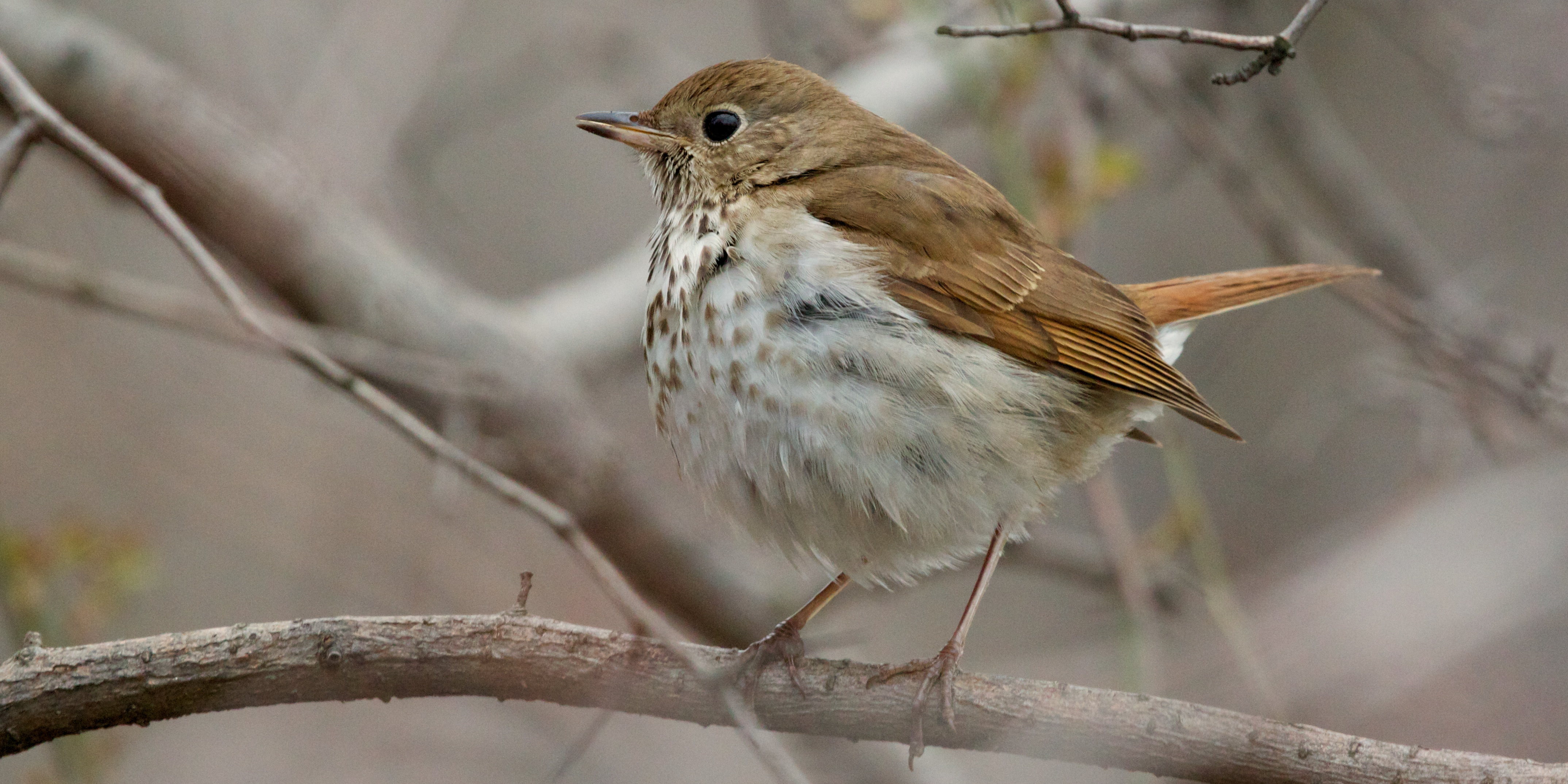 Hermit Thrush photos and wallpapers. Collection of the