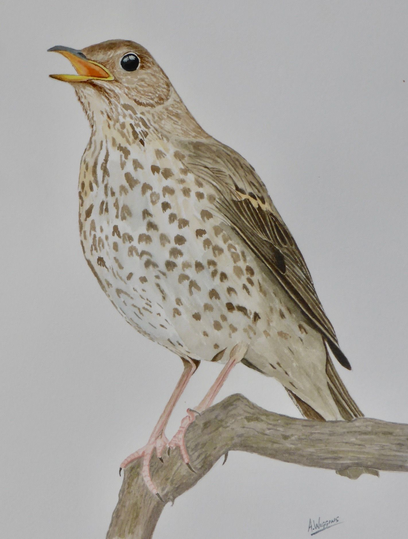 Song Thrush, Watercolour painting by : A.Wiggins