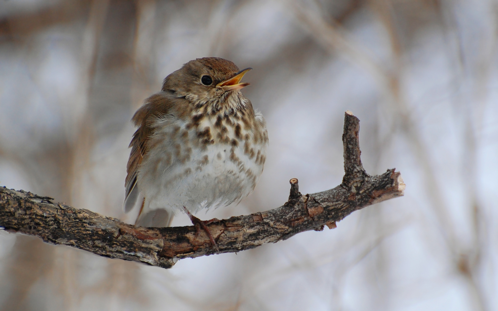 Best 44+ Thrush Wallpapers on HipWallpapers