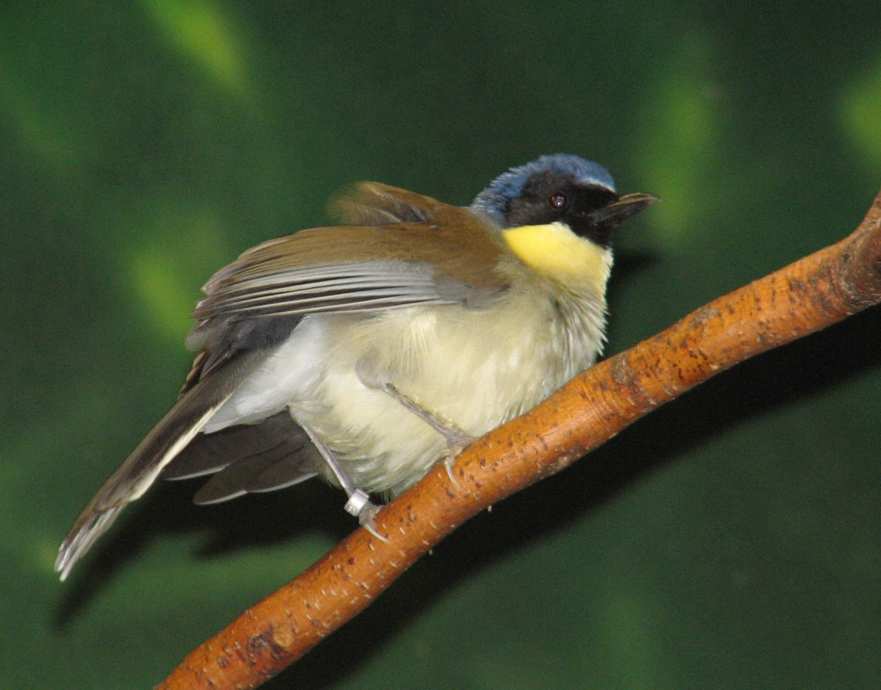 Animals World: wallpapers of different laughing thrush birds
