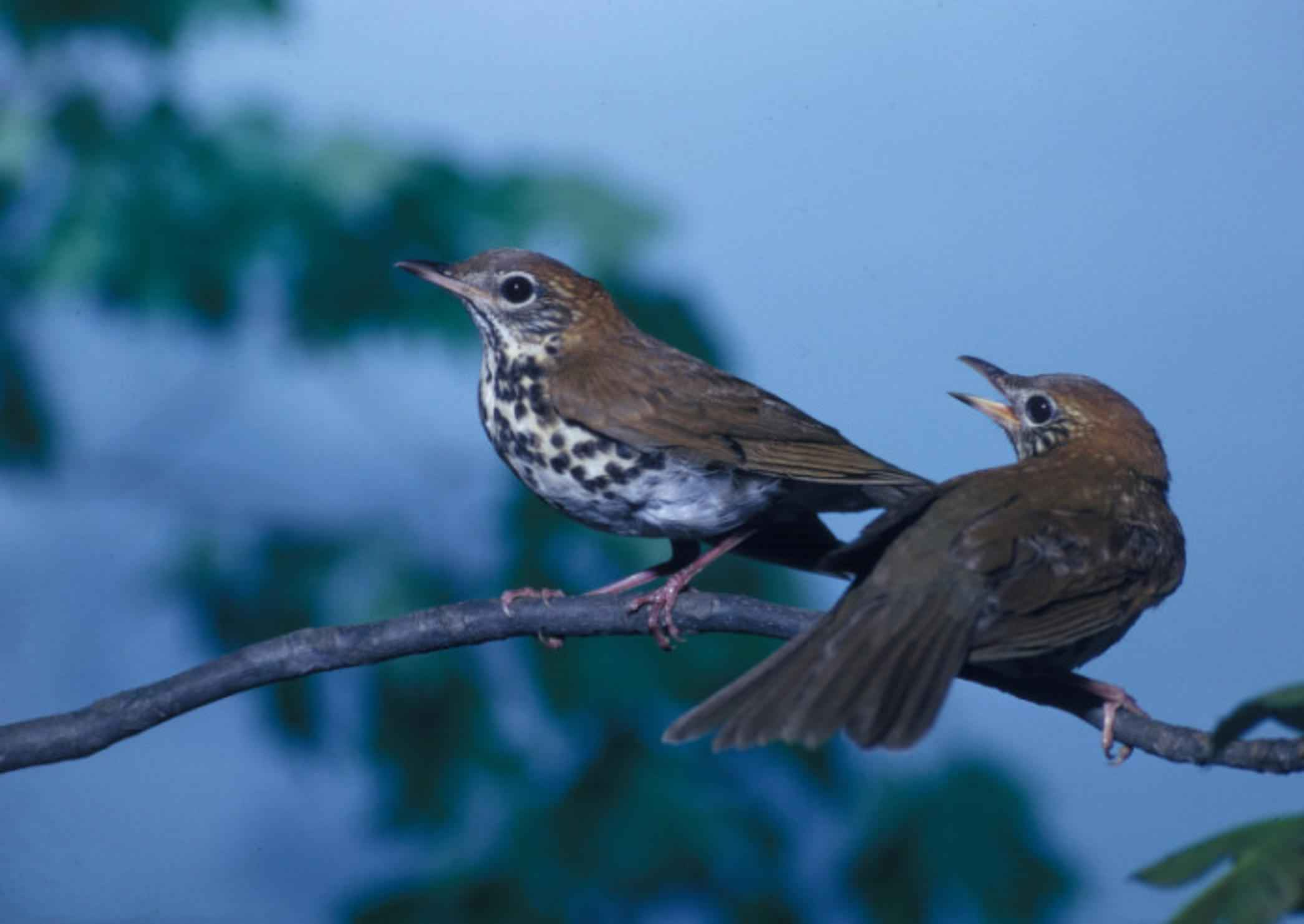 Free picture: pair, wood, thrushes, songbirds, perching, branch