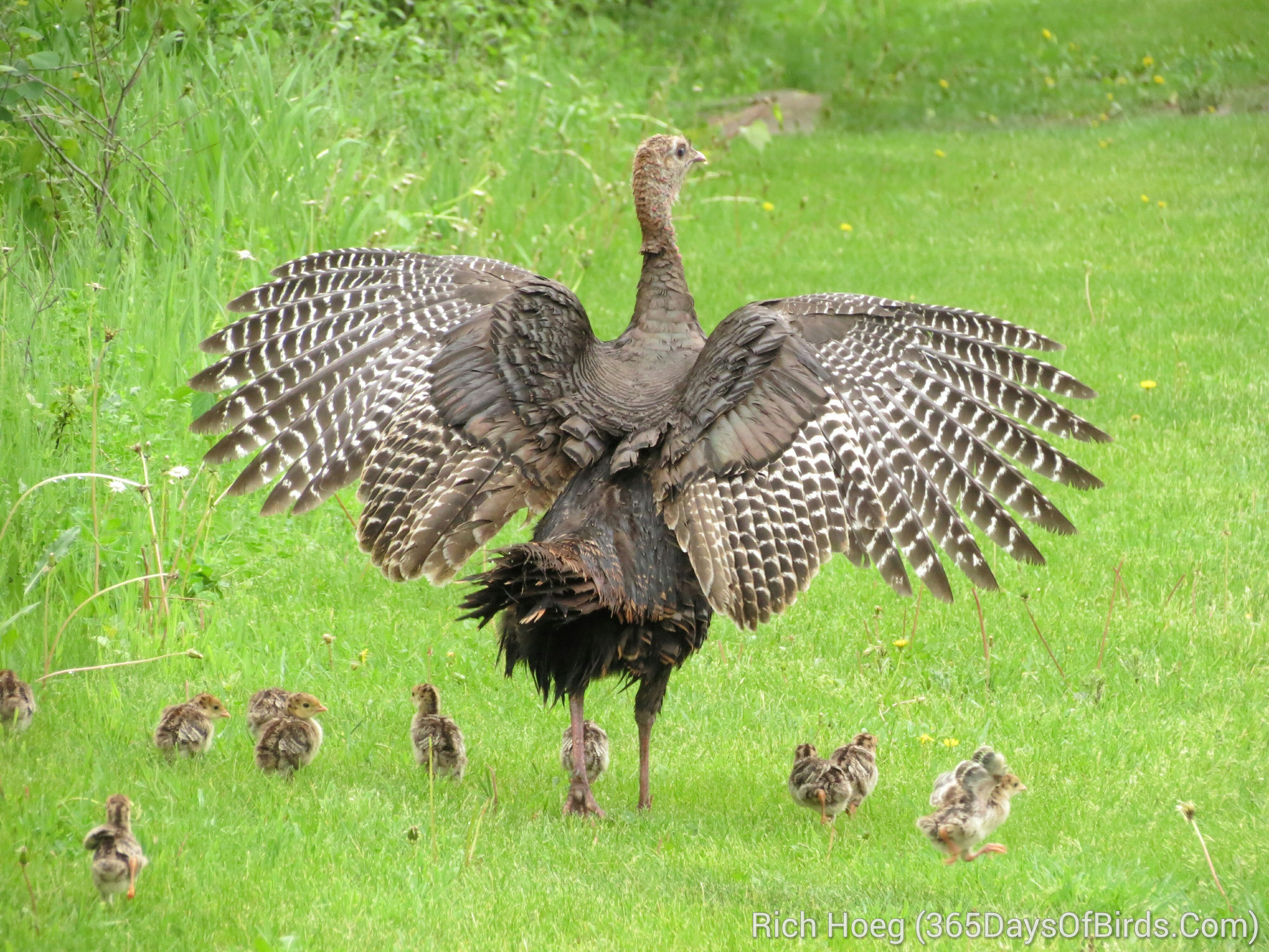 Baby turkey wallpapers