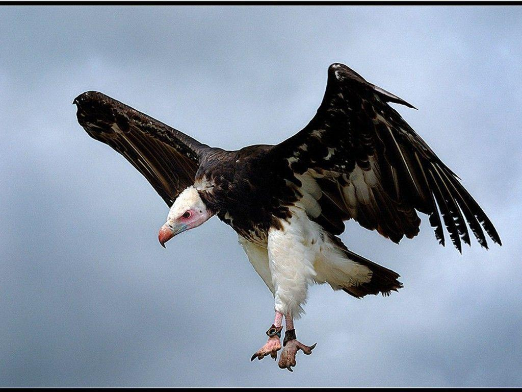 White Headed Vulture wallpapers